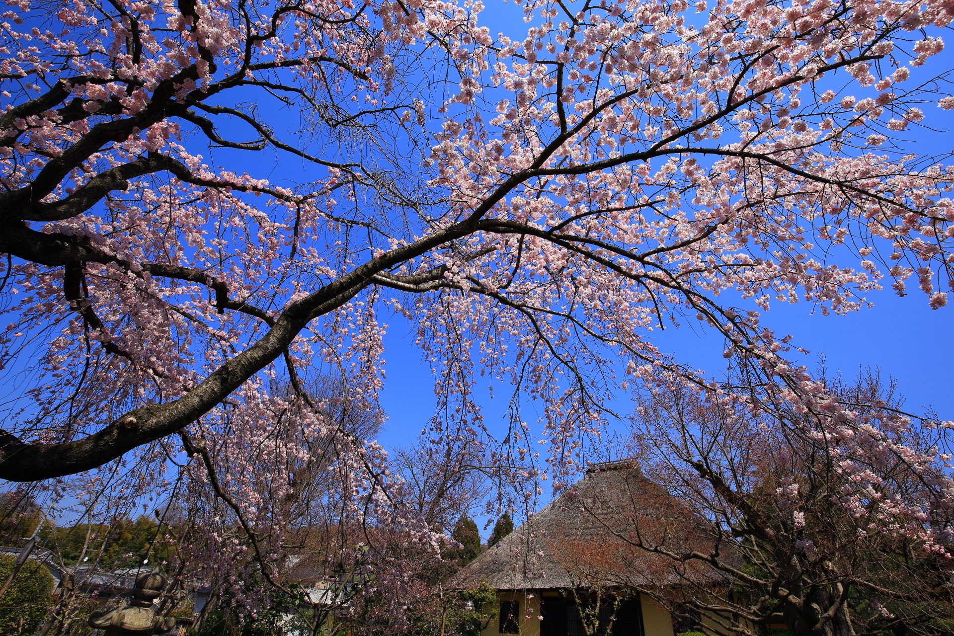 やっぱり青空が似合う輝く桜