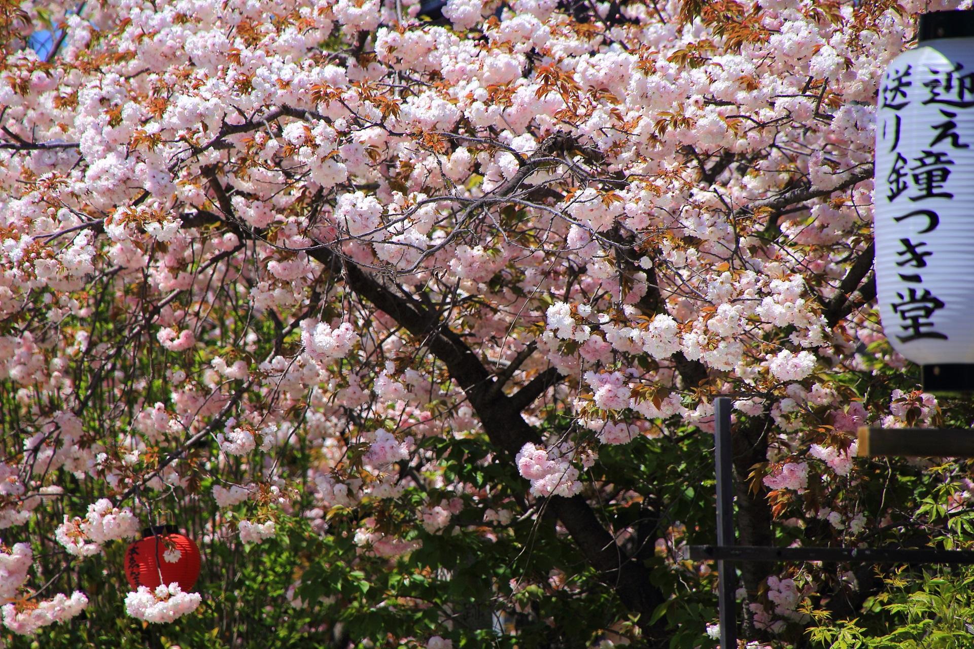 鐘つき堂(梵鐘)の提燈と桜