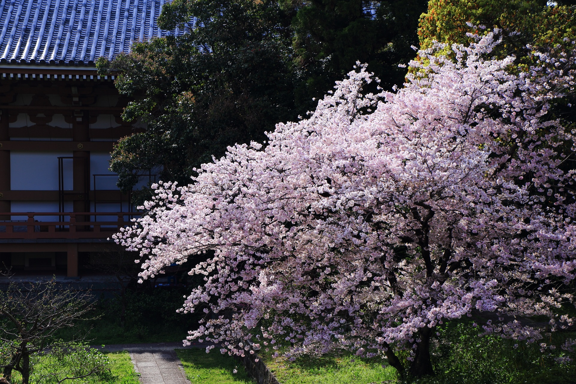 超満開で花がモコモコした桜