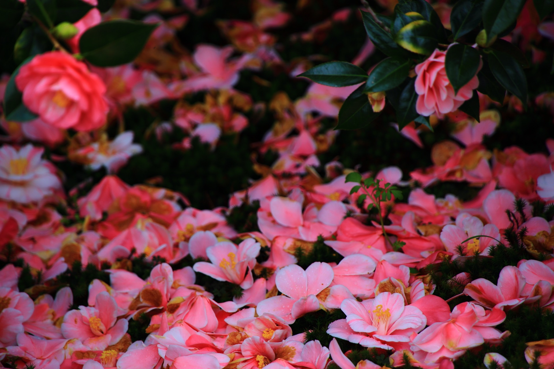 苔の上に咲く鮮やかな散り椿の花