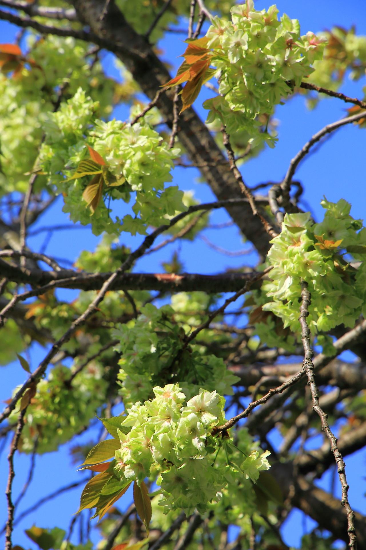 花つきが良く綺麗に咲く緑の桜