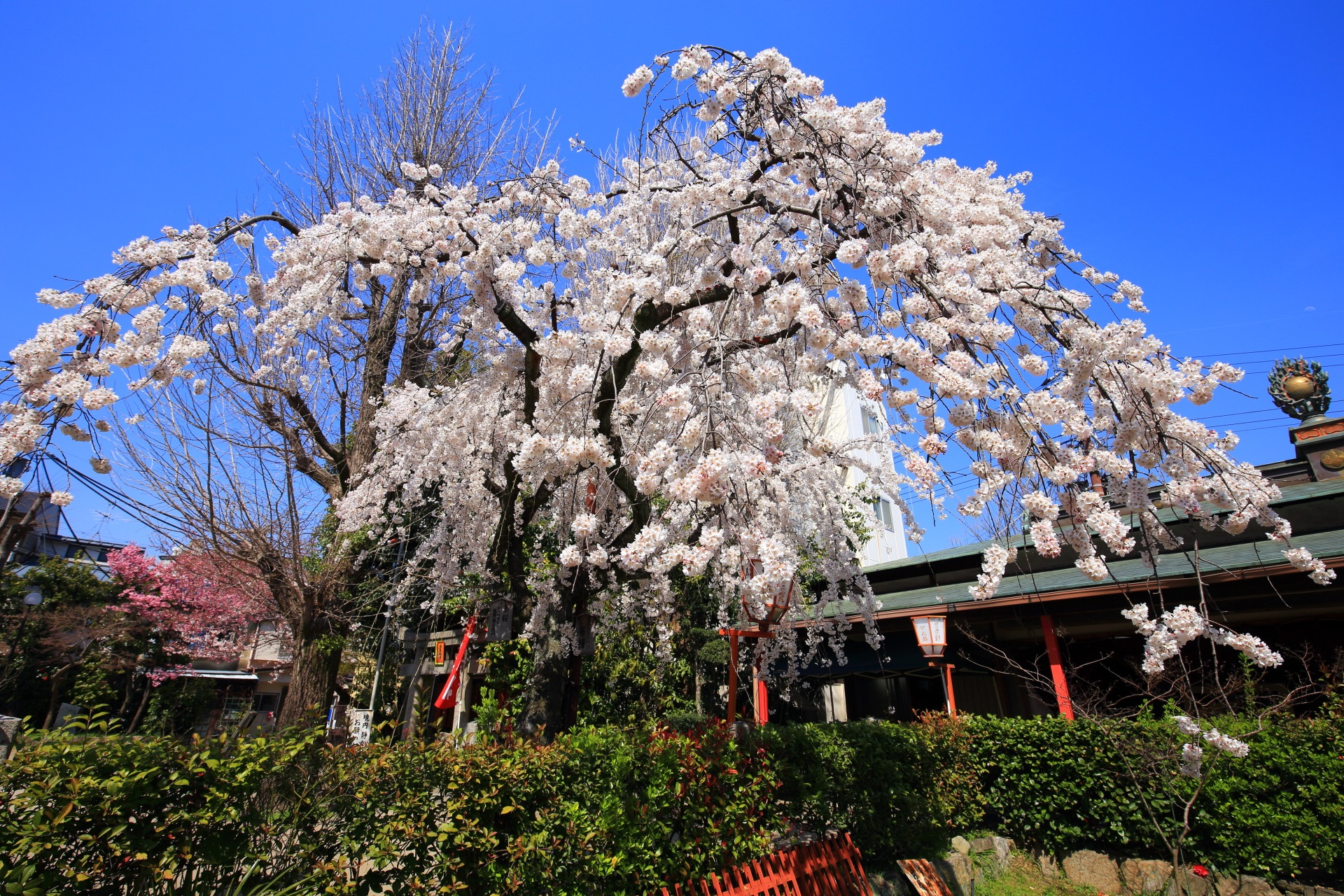 青空を春色に彩る華やかなしだれ桜