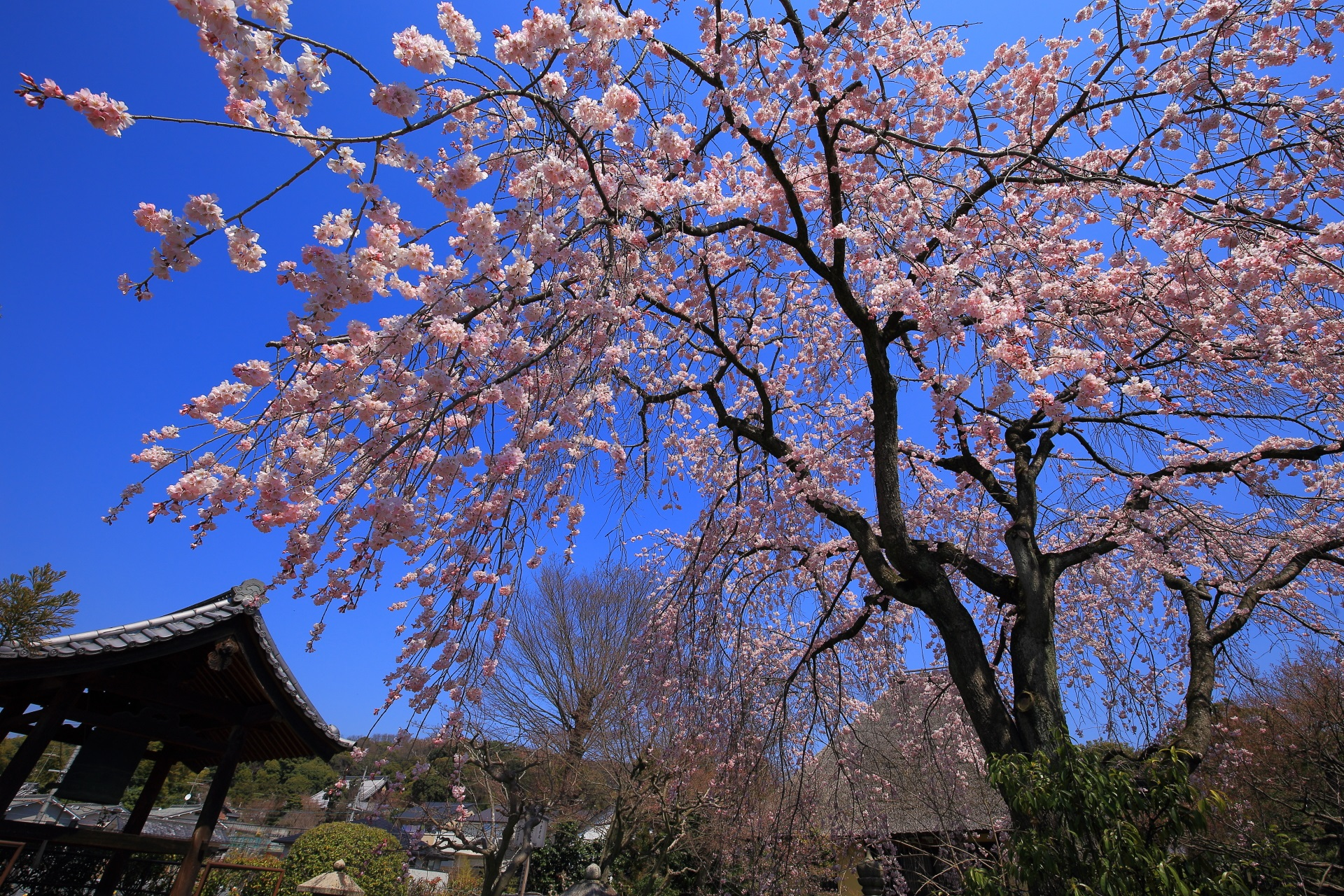 瑞光寺の鐘楼としだれ桜