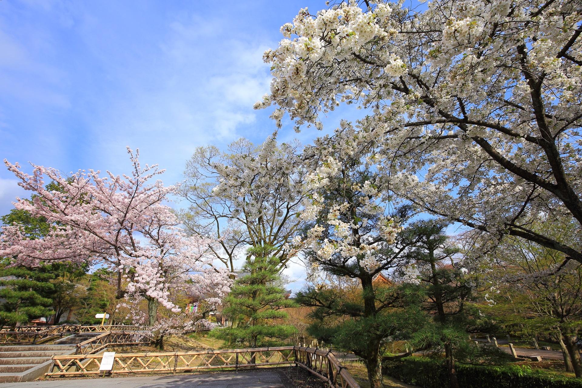 冠木門を少し過ぎたあたりの華やかな桜