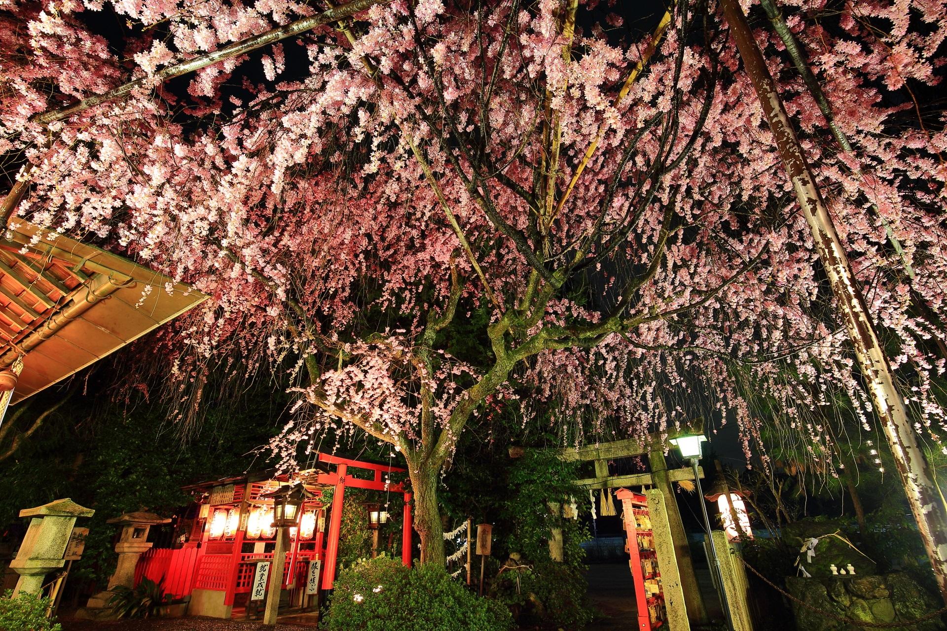 鳥居や提灯が演出する夜桜