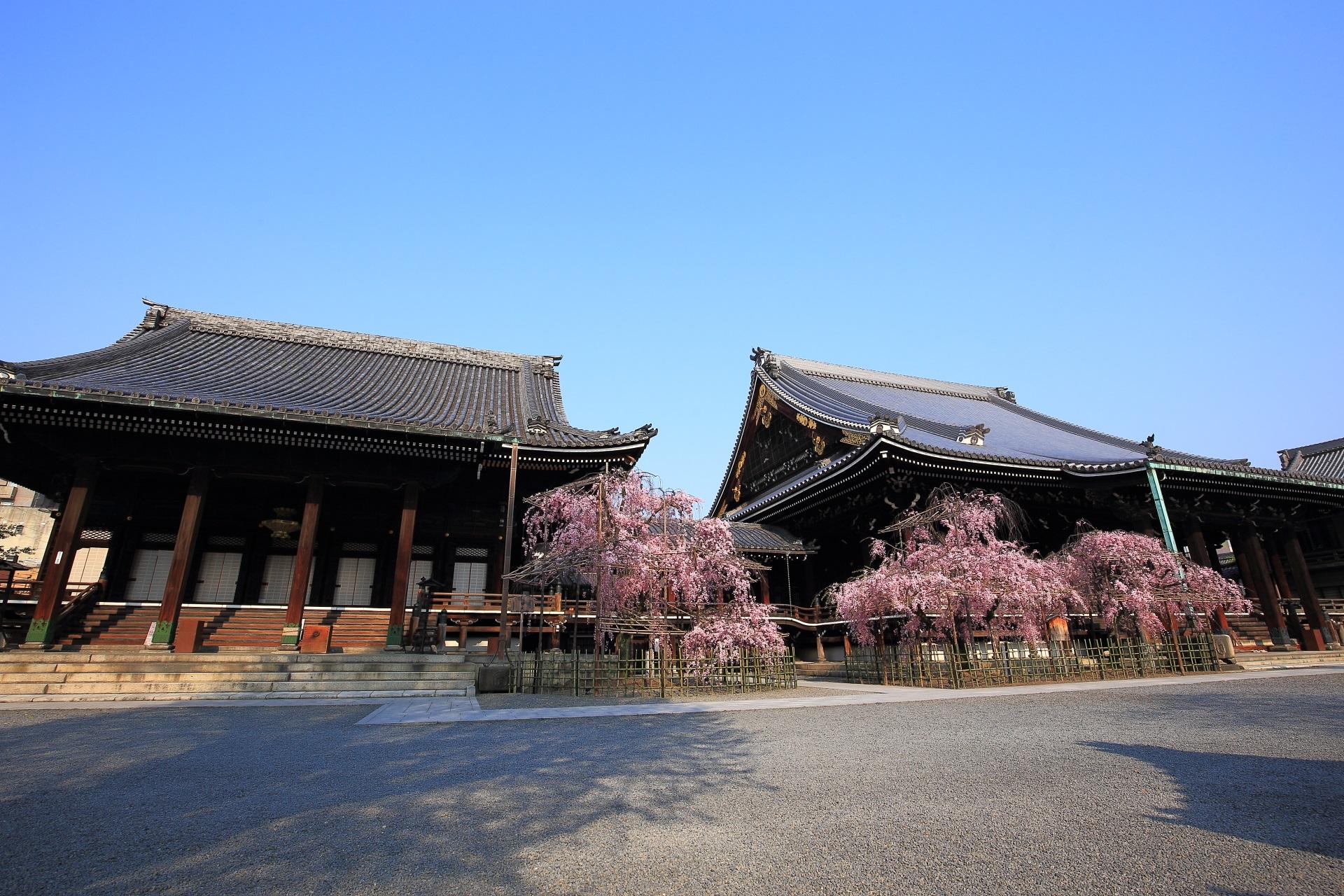 仏光寺の素晴らしい桜と青空と春の情景