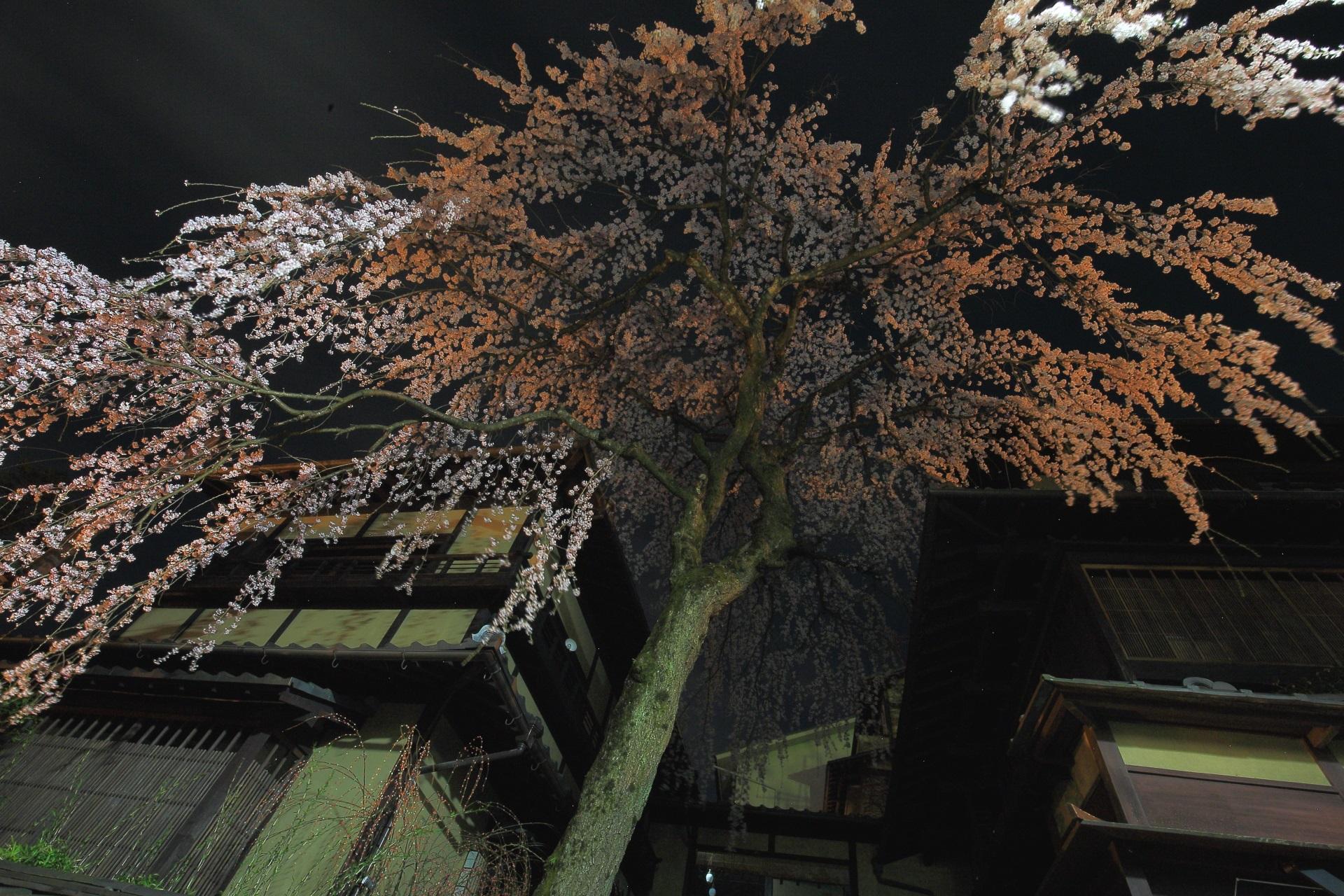 建物の隙間から降り注ぐ真下から見上げた産寧坂のしだれ桜