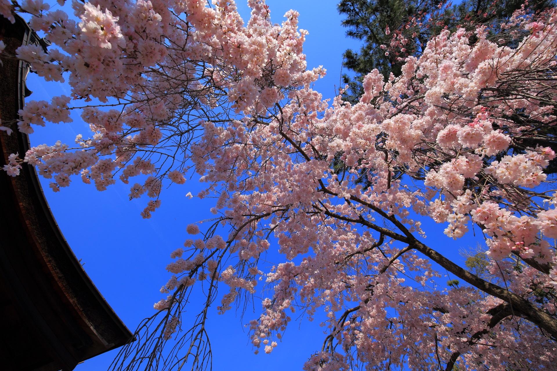 社殿のシルエットと青空に映えるピンクの桜
