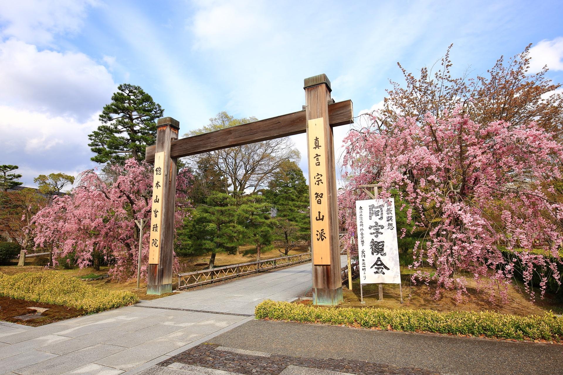 冠木門両脇の満開のしだれ桜