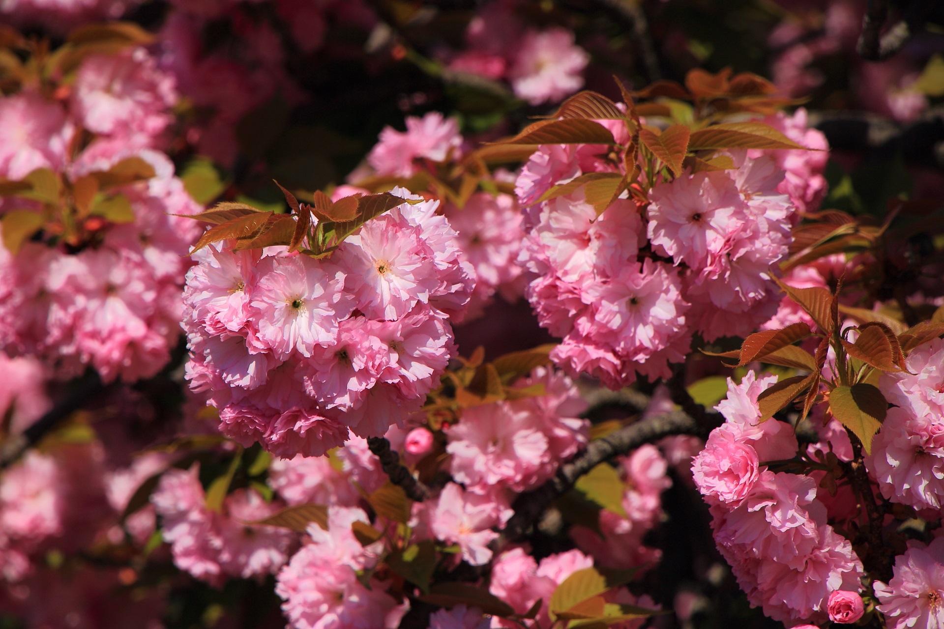 日が当たり華やかな彩りのピンクの可愛い花