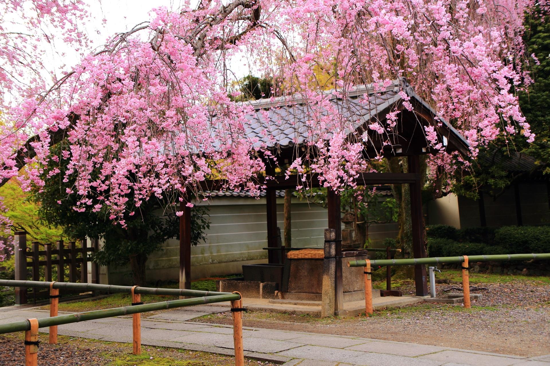 玄関前の手水舎としだれ桜