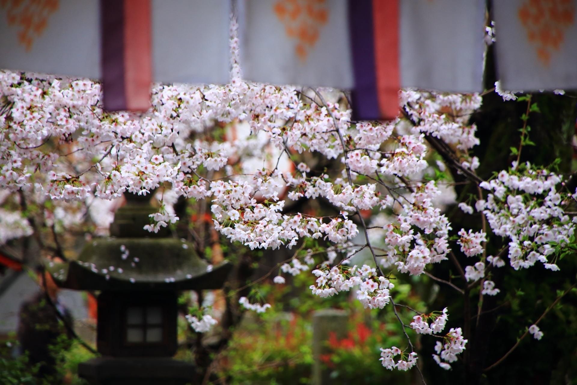 華やかな桜と風情ある燈籠