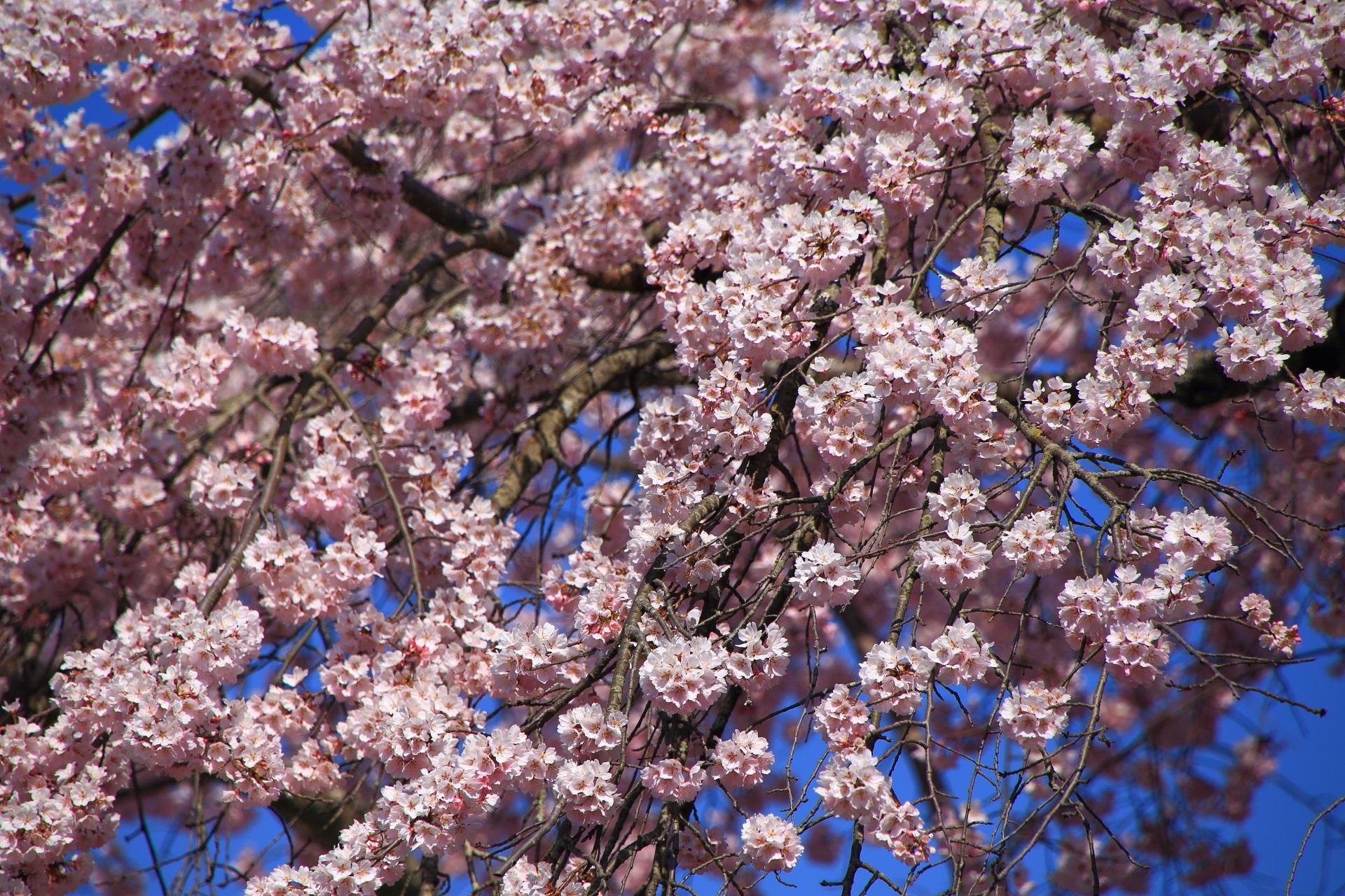 超満開でモコモコ感のある桜