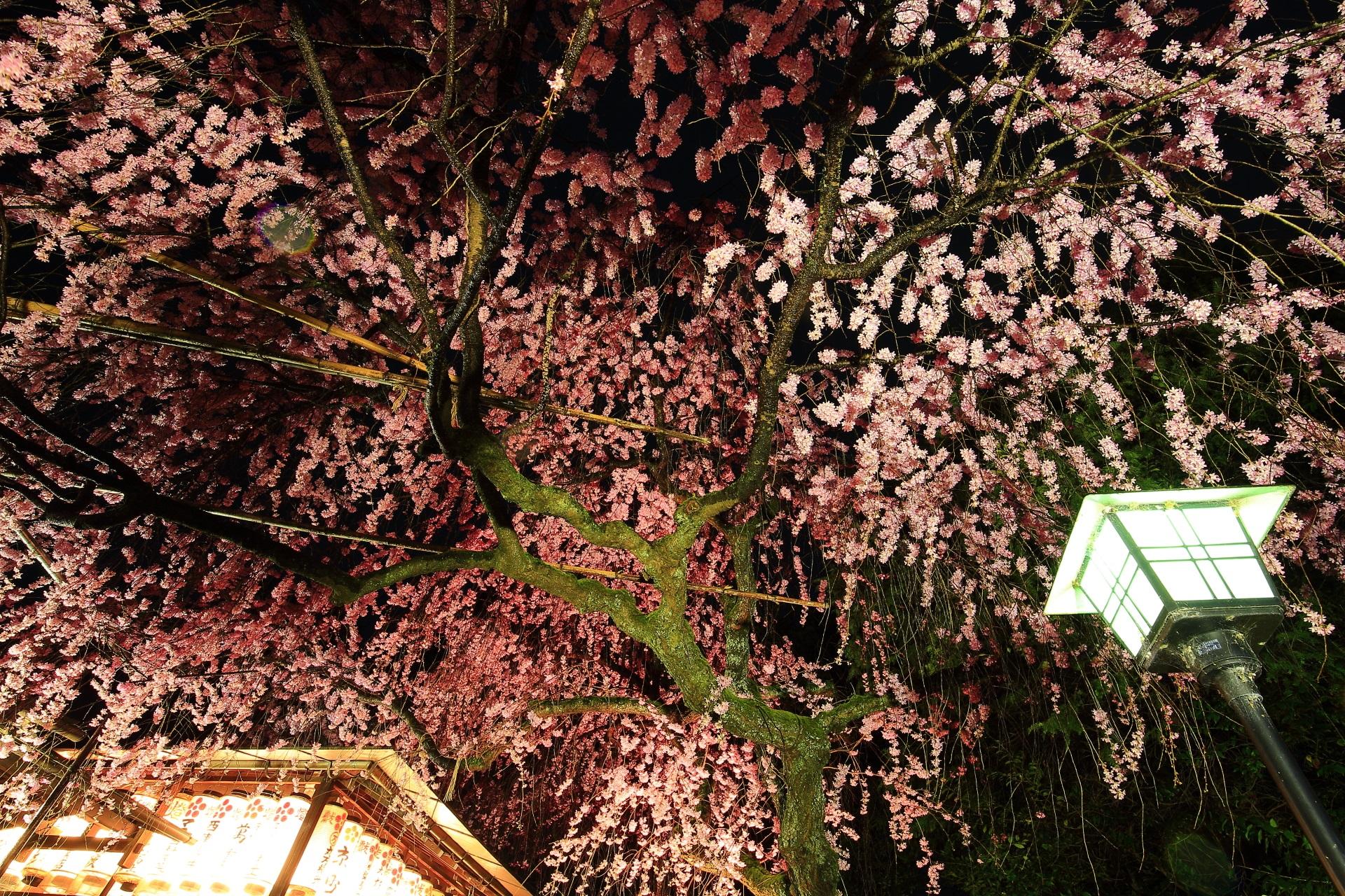 夜空から降り注ぐピンクのしだれ桜