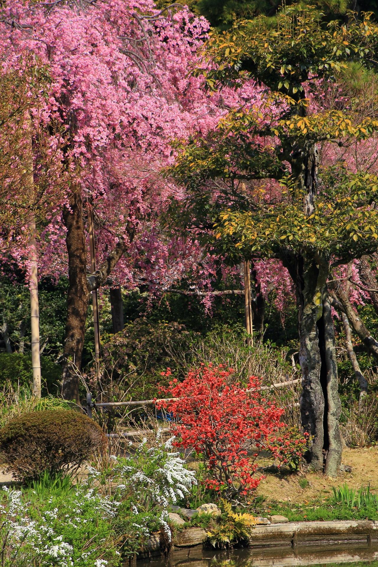 華やかな桜の下で咲く鮮やかな赤い花や白い雪柳