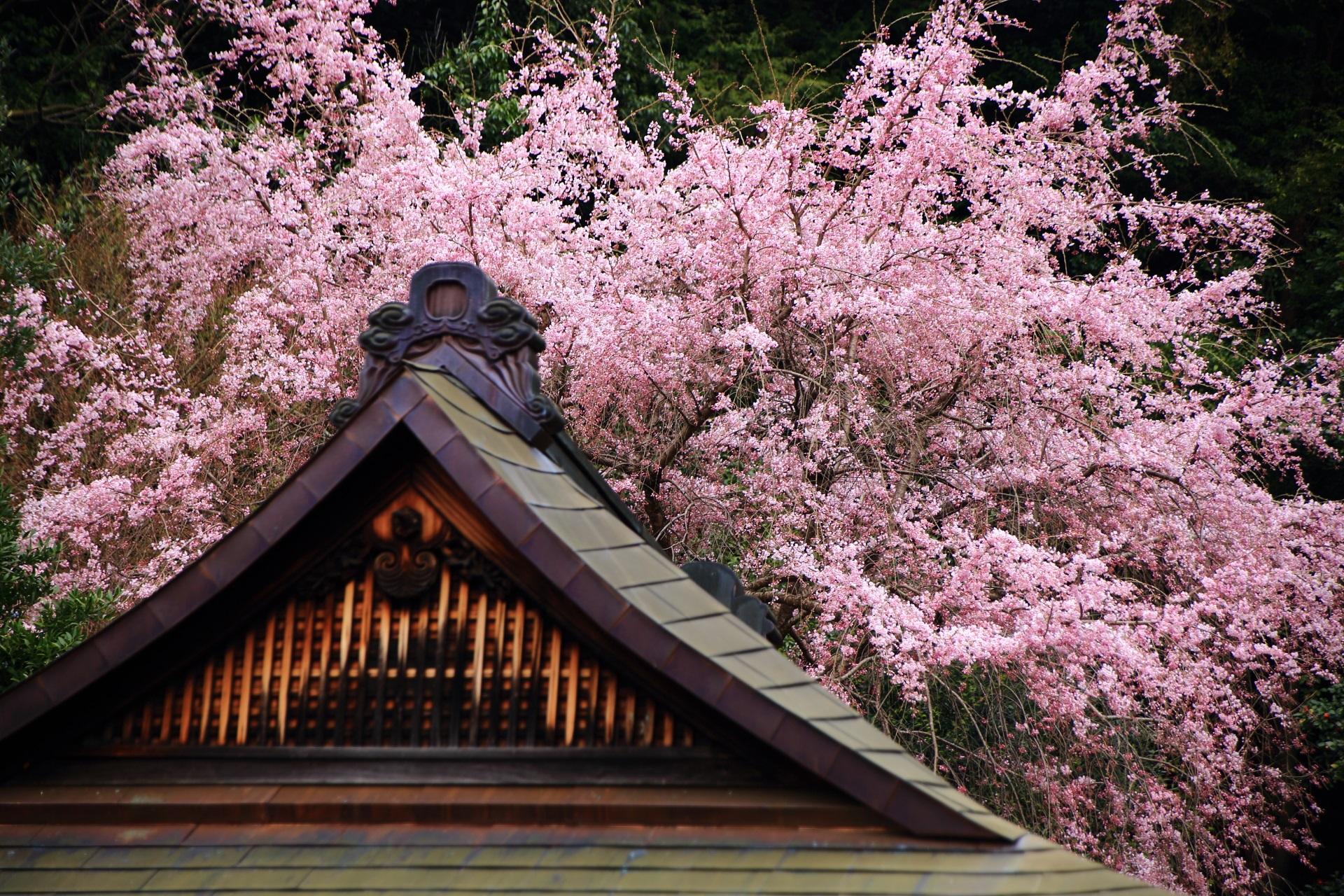 上の方が良く咲いているしだれ桜