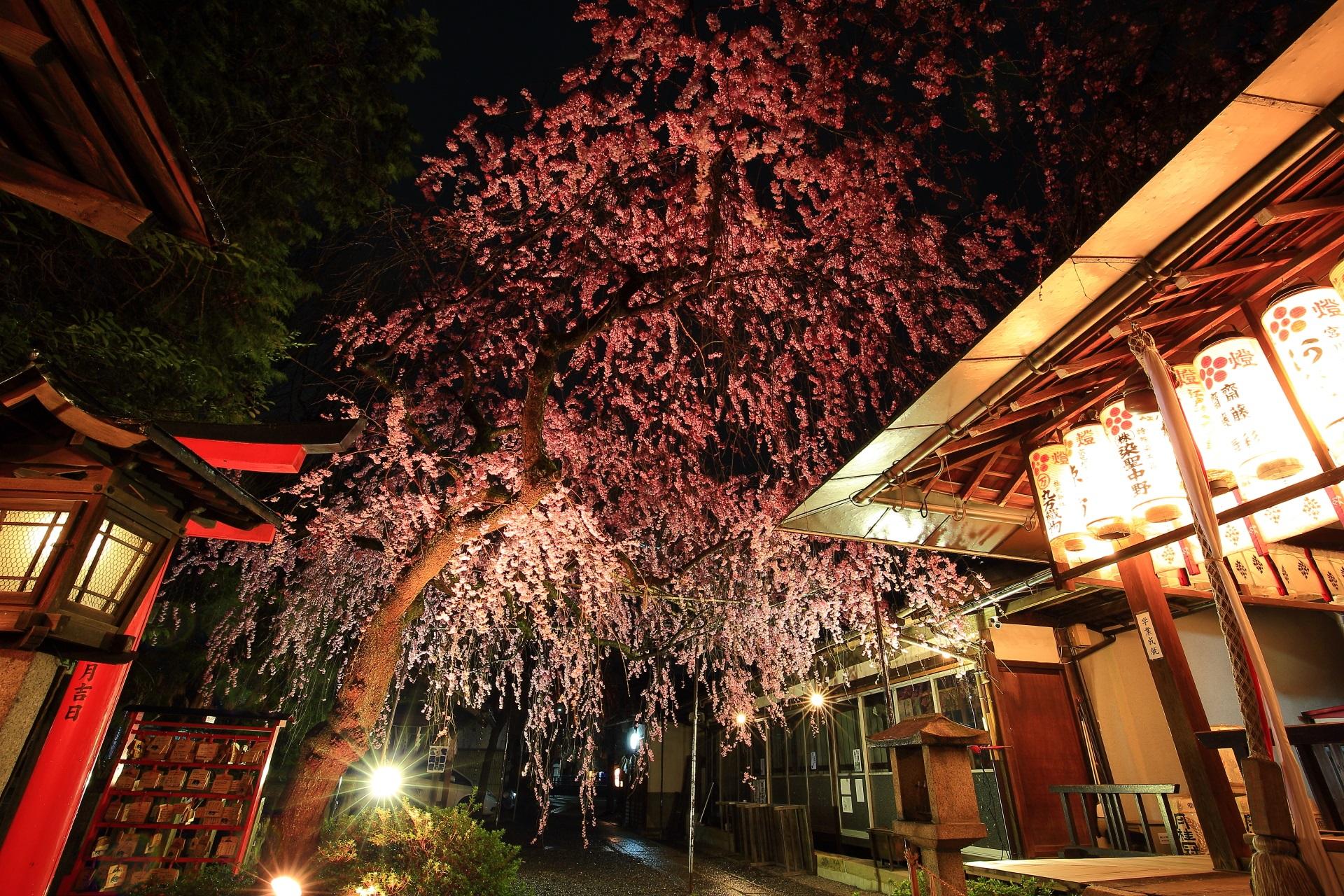 見る場所によって雰囲気が変わる桜