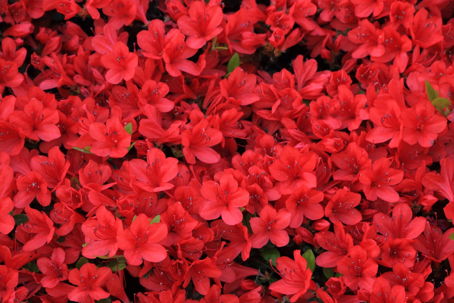 花びら一つ一つは繊細な遠目から見ると赤い壁のきりしまつつじ