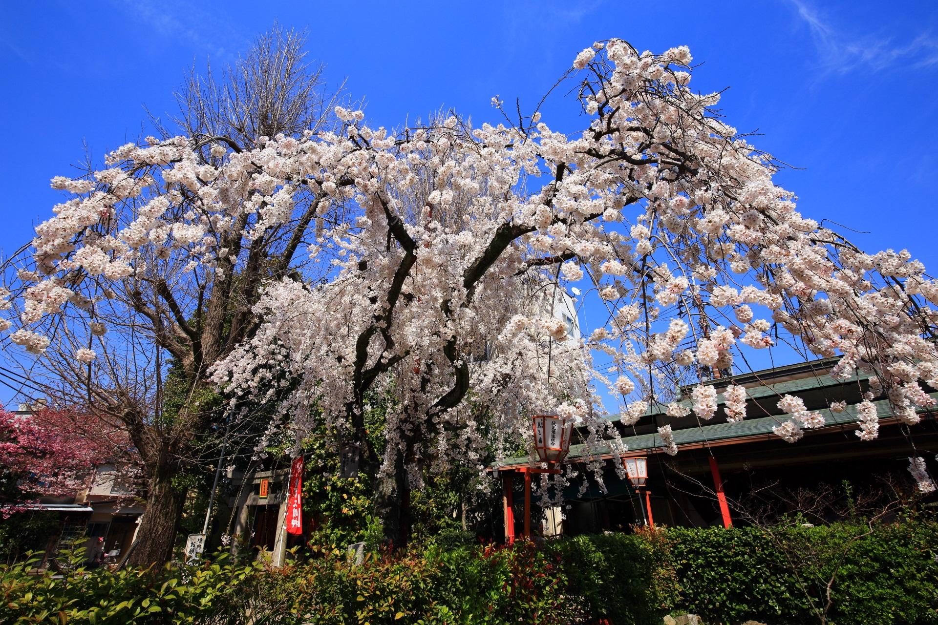 雨の多かった桜シーズンの貴重な青空の桜