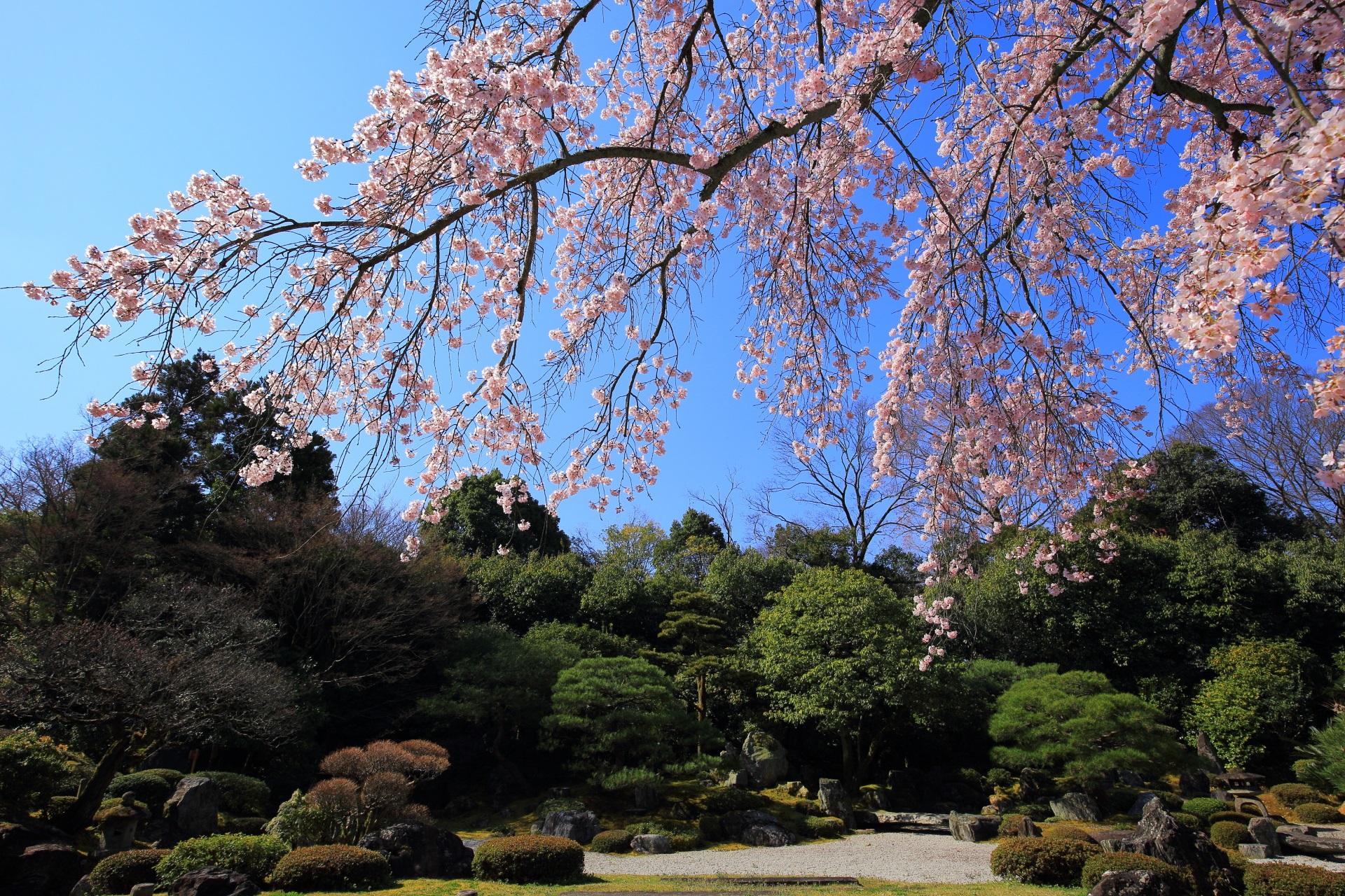 石庭に降りかかるような華やかな桜