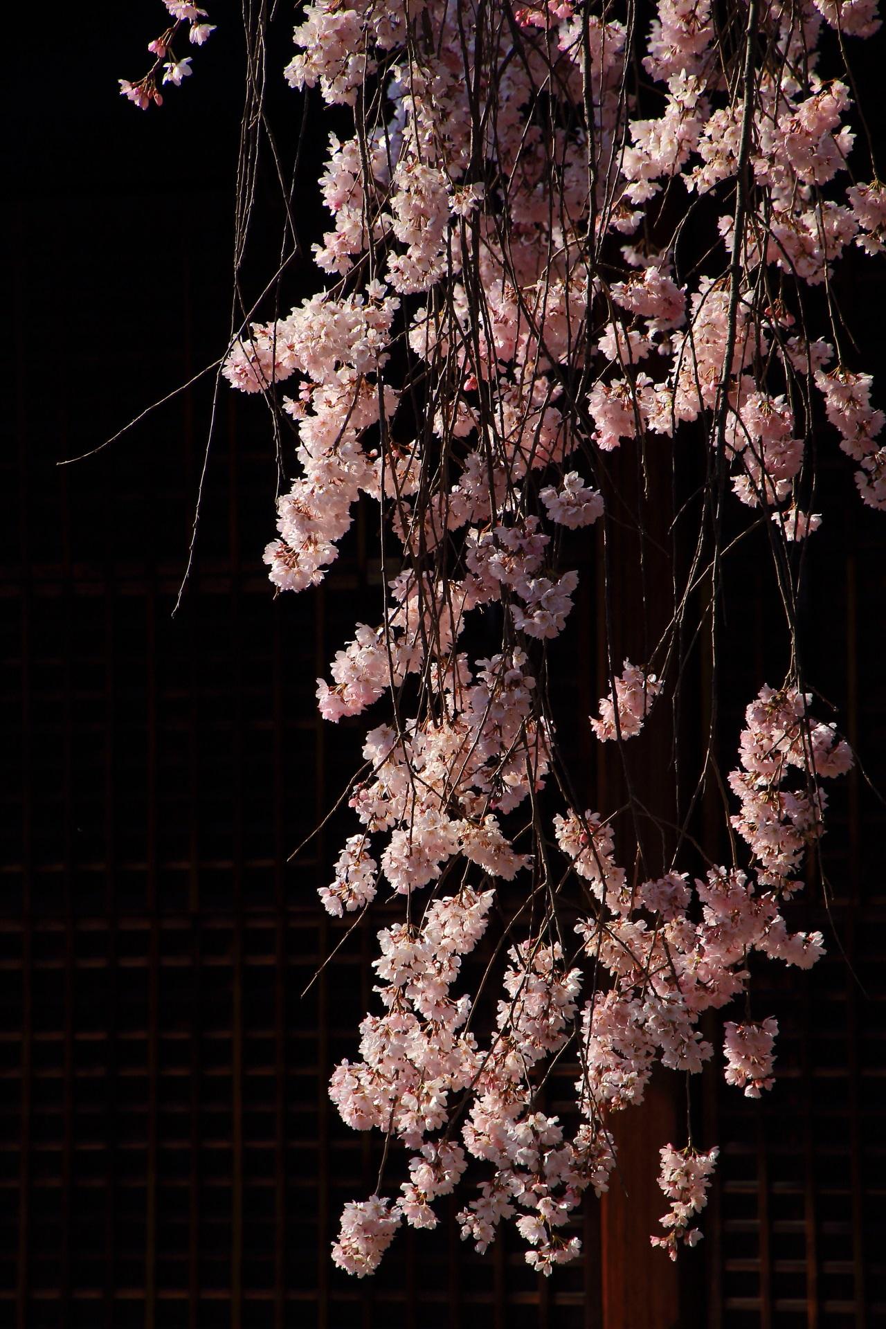 風情と華やかさが競演する社殿に枝垂れる桜