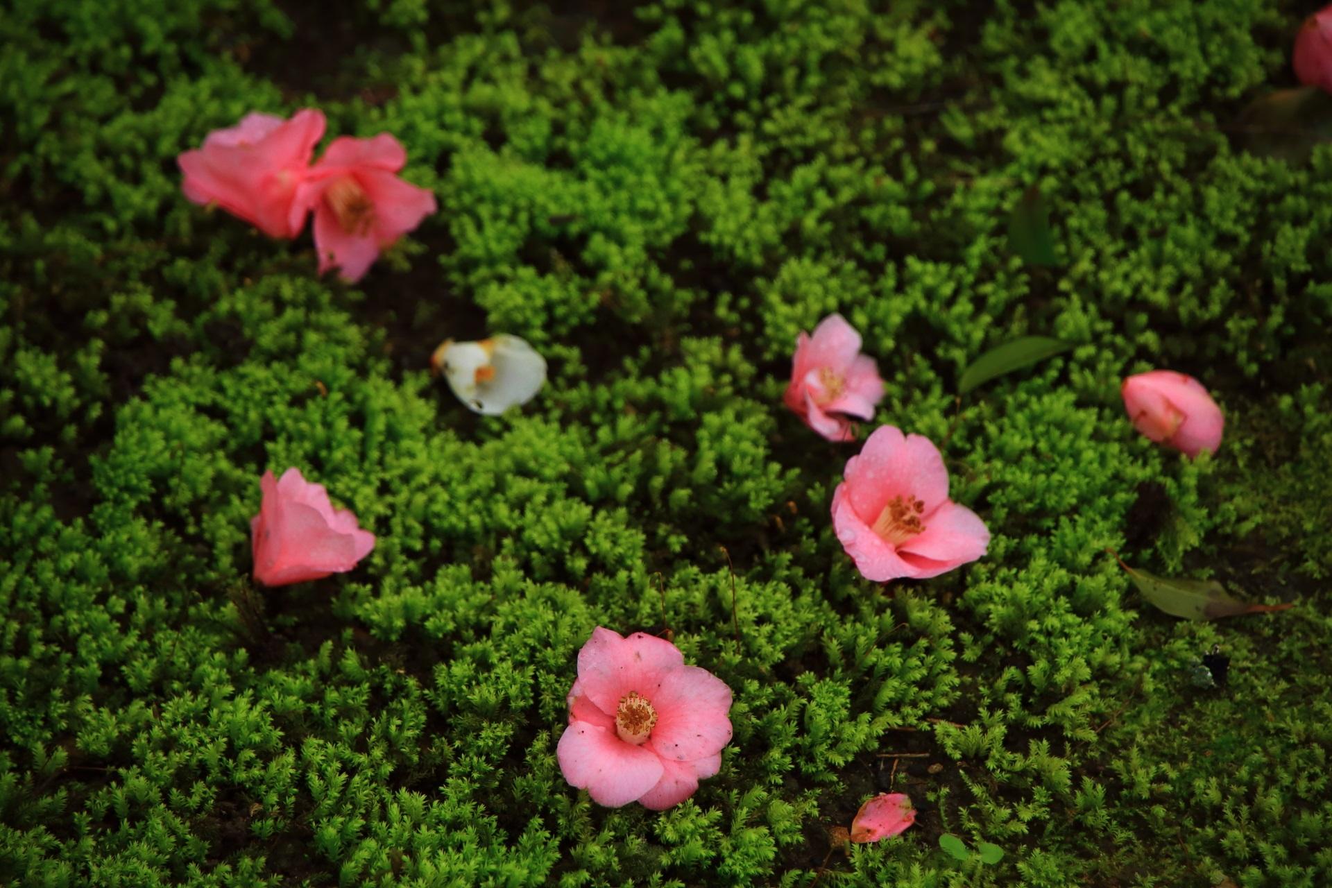 霊鑑寺のピンクの可愛い散り椿