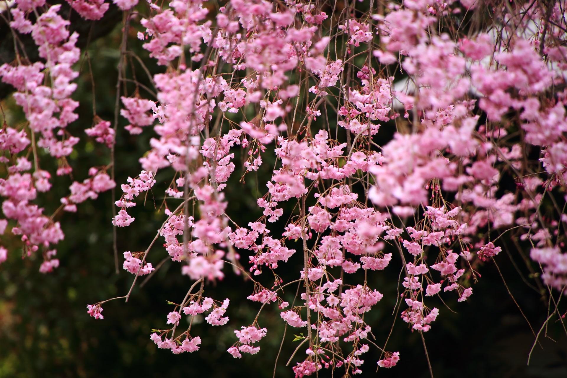 風になびいて優しく揺らめく桜