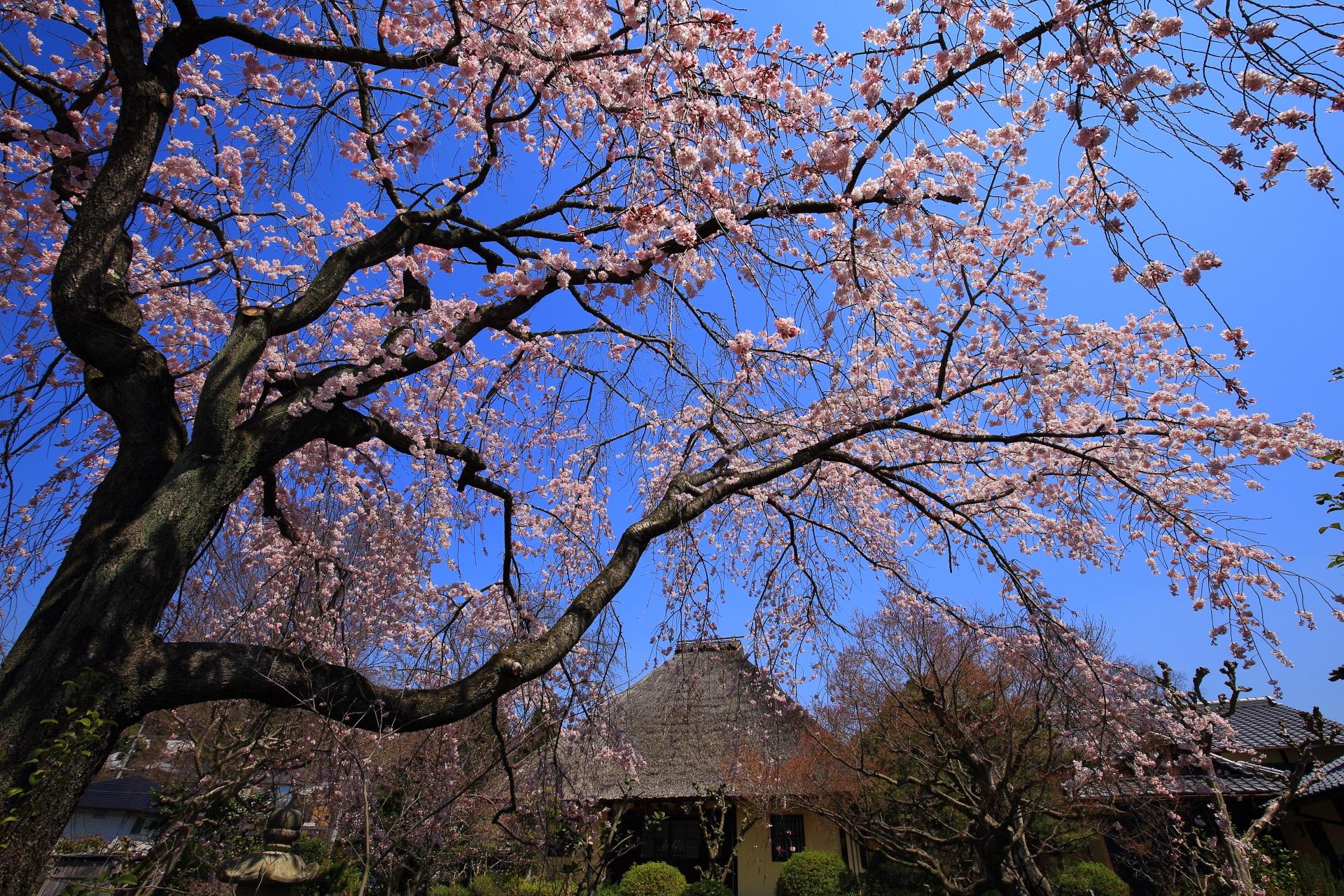 角度や場所を変えればまた違った雰囲気がする桜