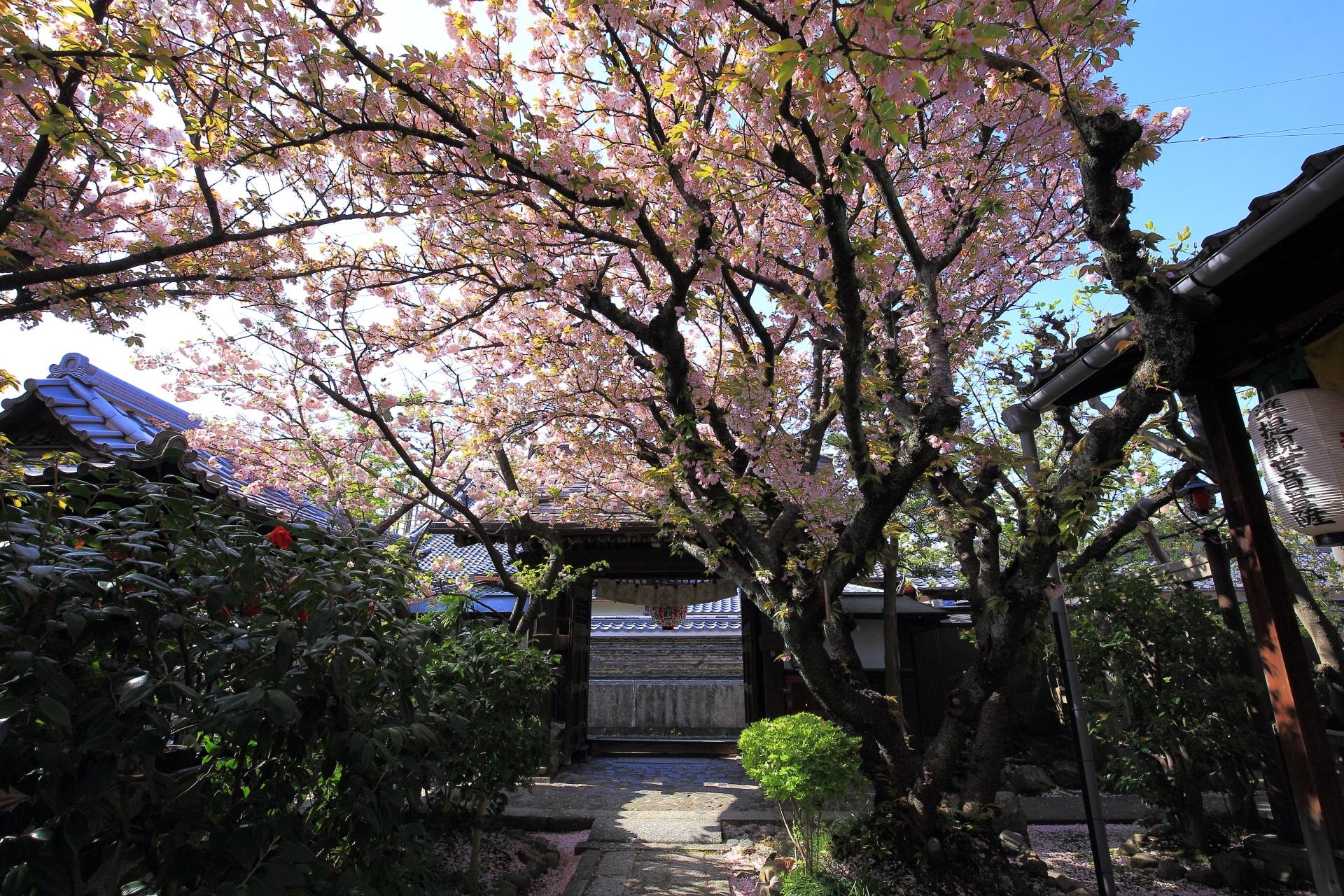絵になる開門している雨宝院の桜