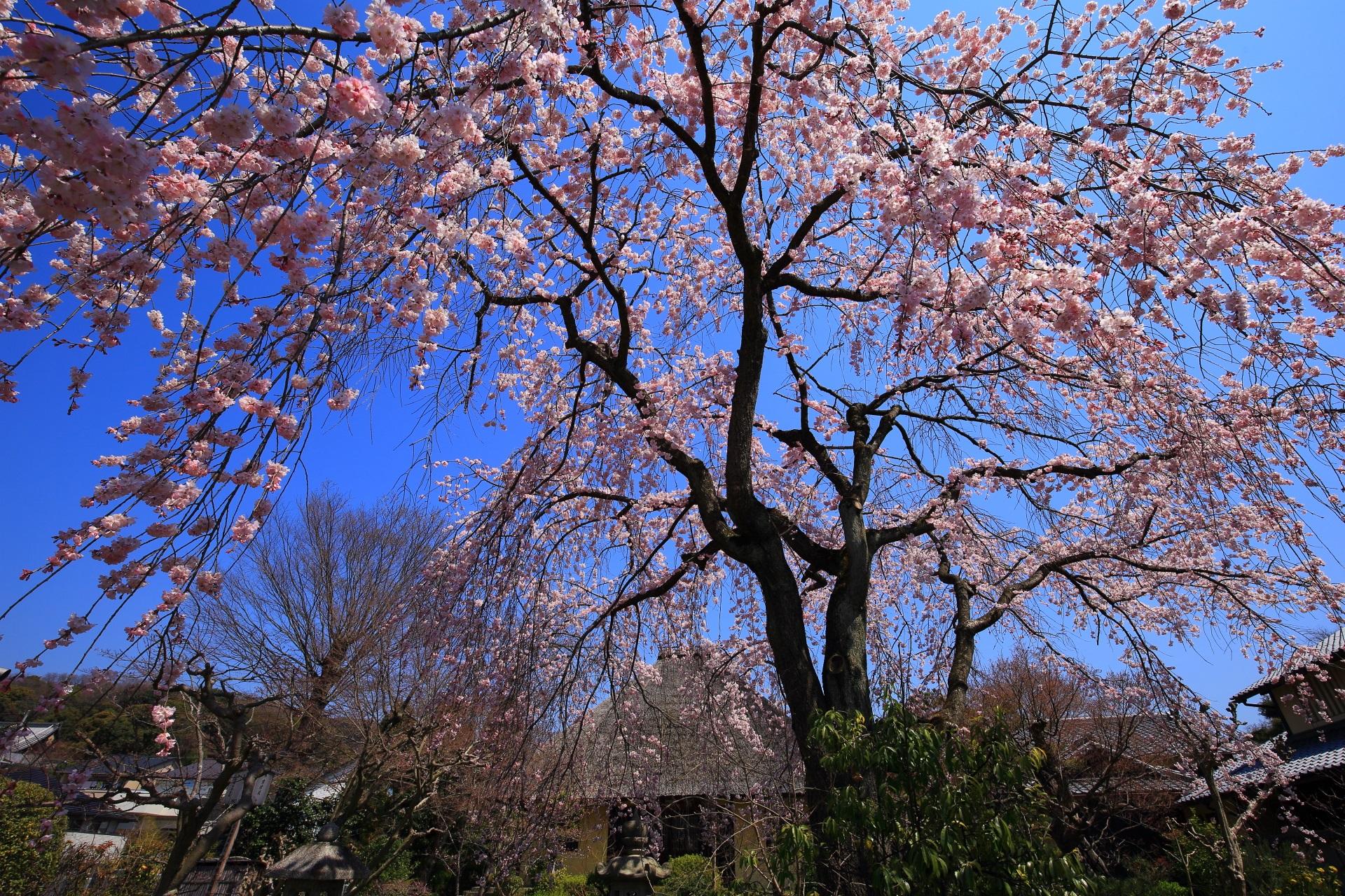 瑞光寺の本堂としだれ桜