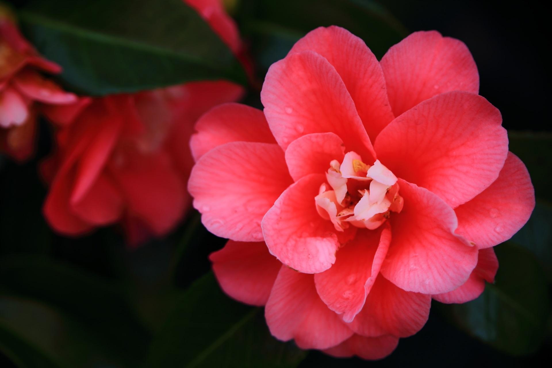 淡い朱色の可憐な椿の花