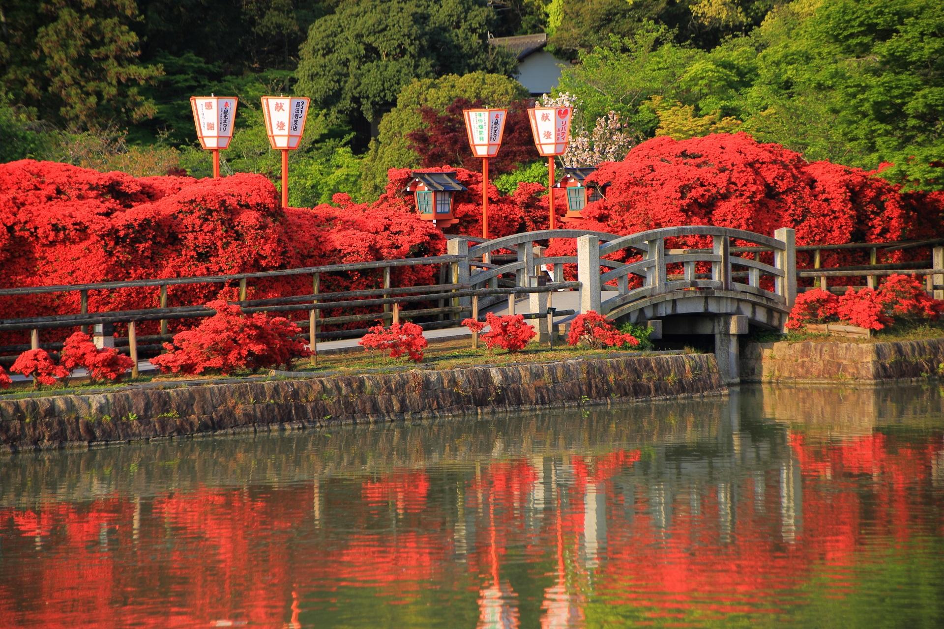 水上橋の北側と南側が同時に満開をむかえた長岡天満宮のキリシマツツジ
