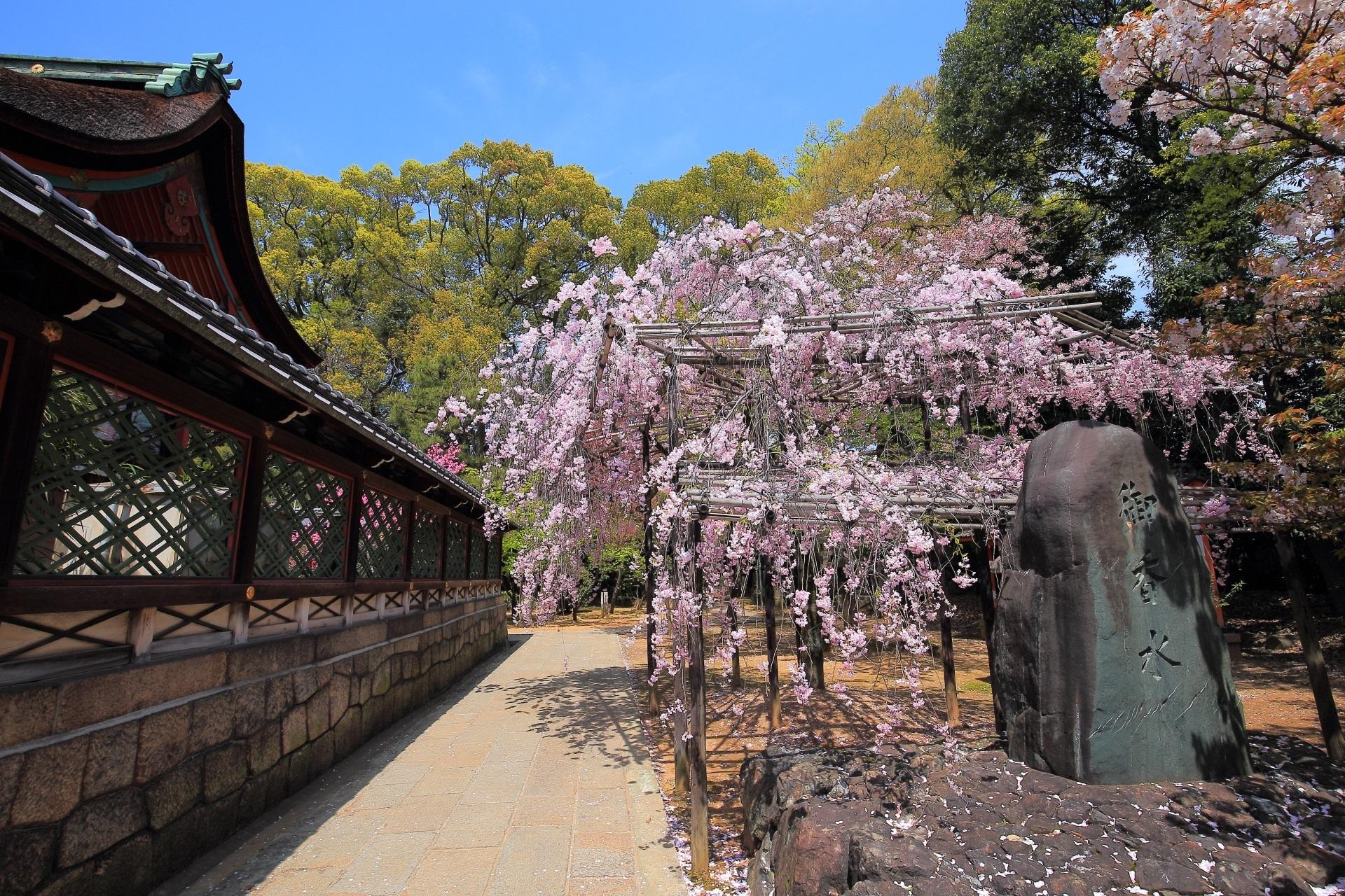 御香宮神社のしだれ桜  菊桃と桜の春の彩り