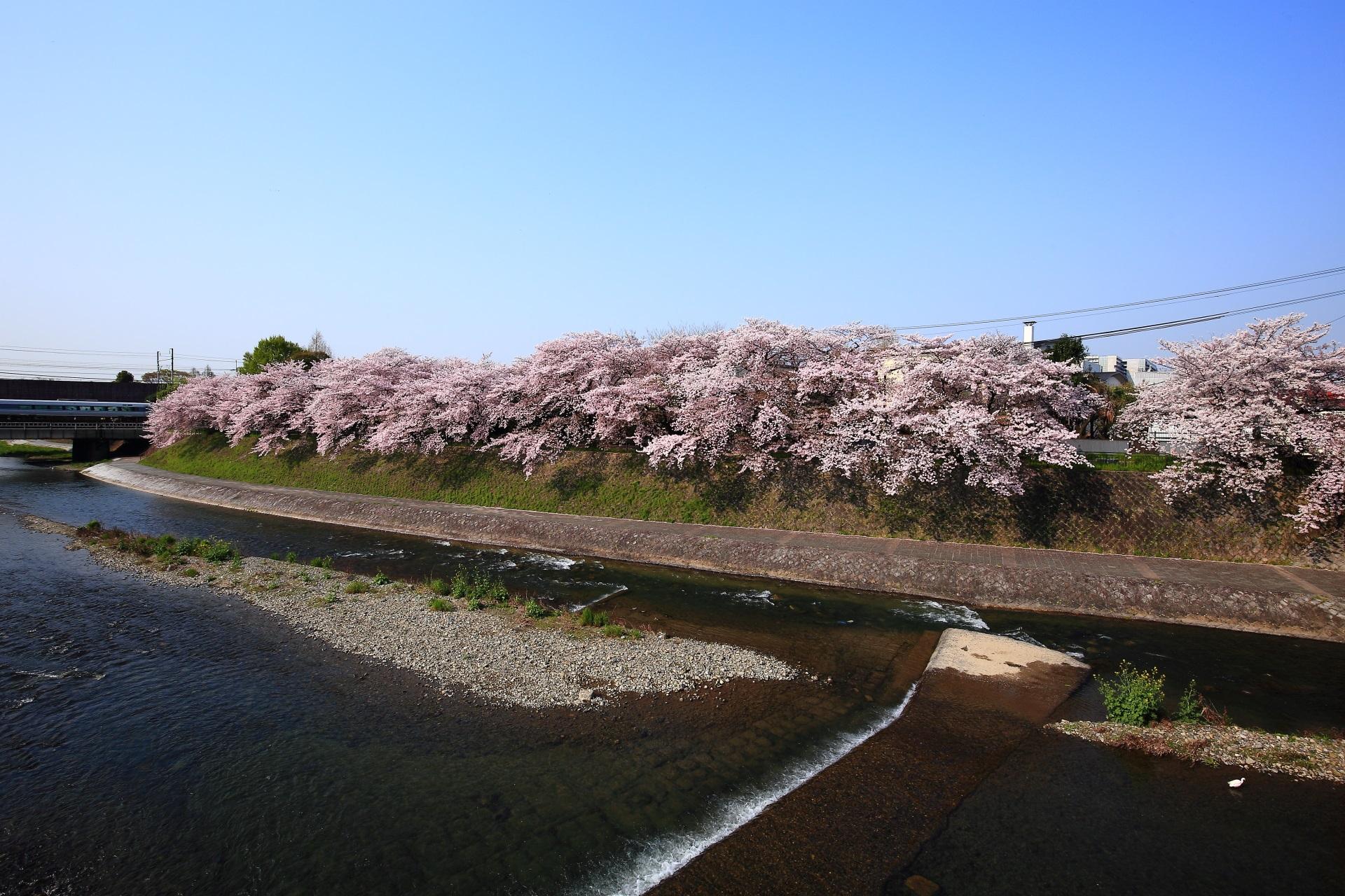 鴨川 塩小路の桜 何気に凄い名もなき桜