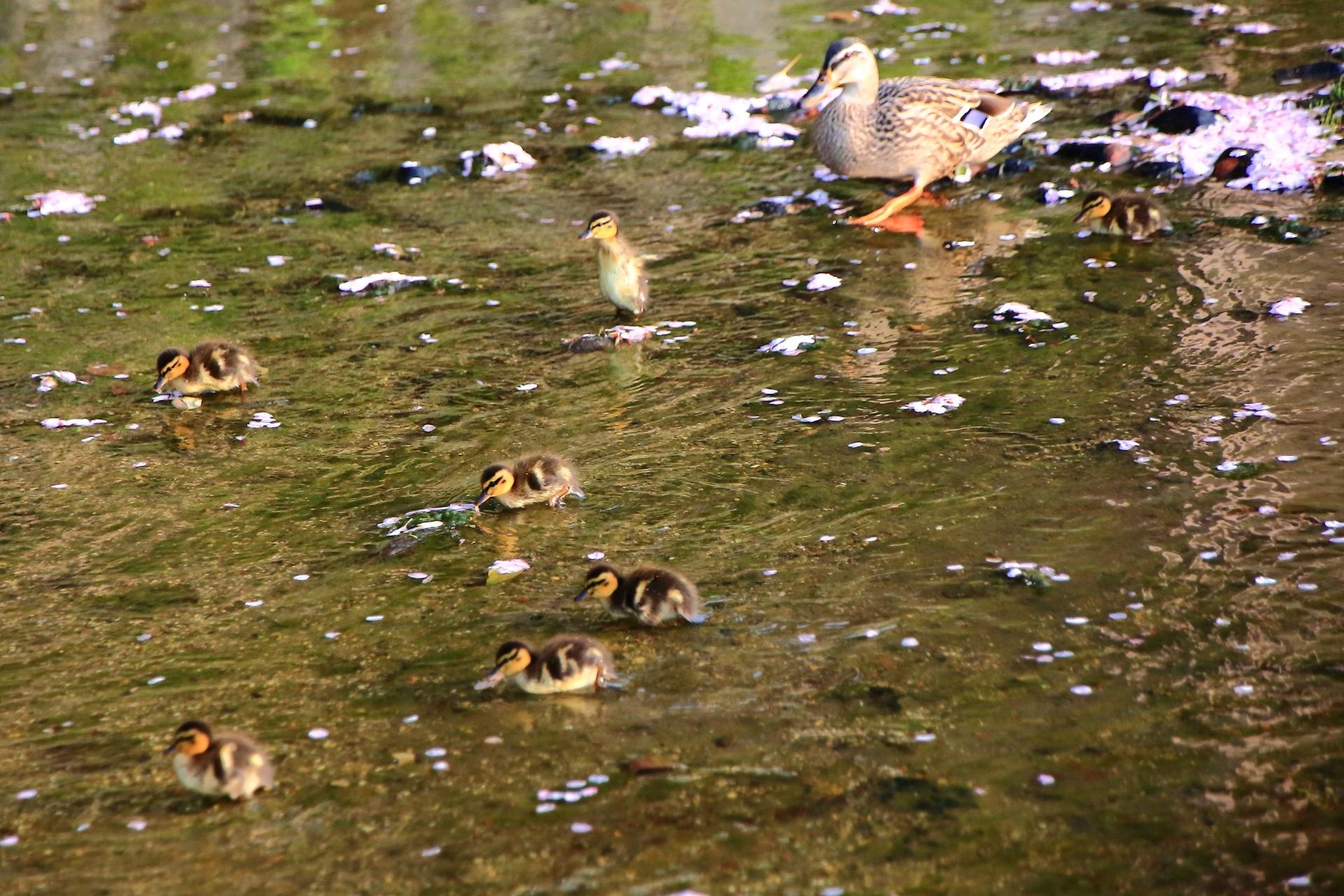 みそそぎ川 鴨の親子と桜 春の長閑な鴨川