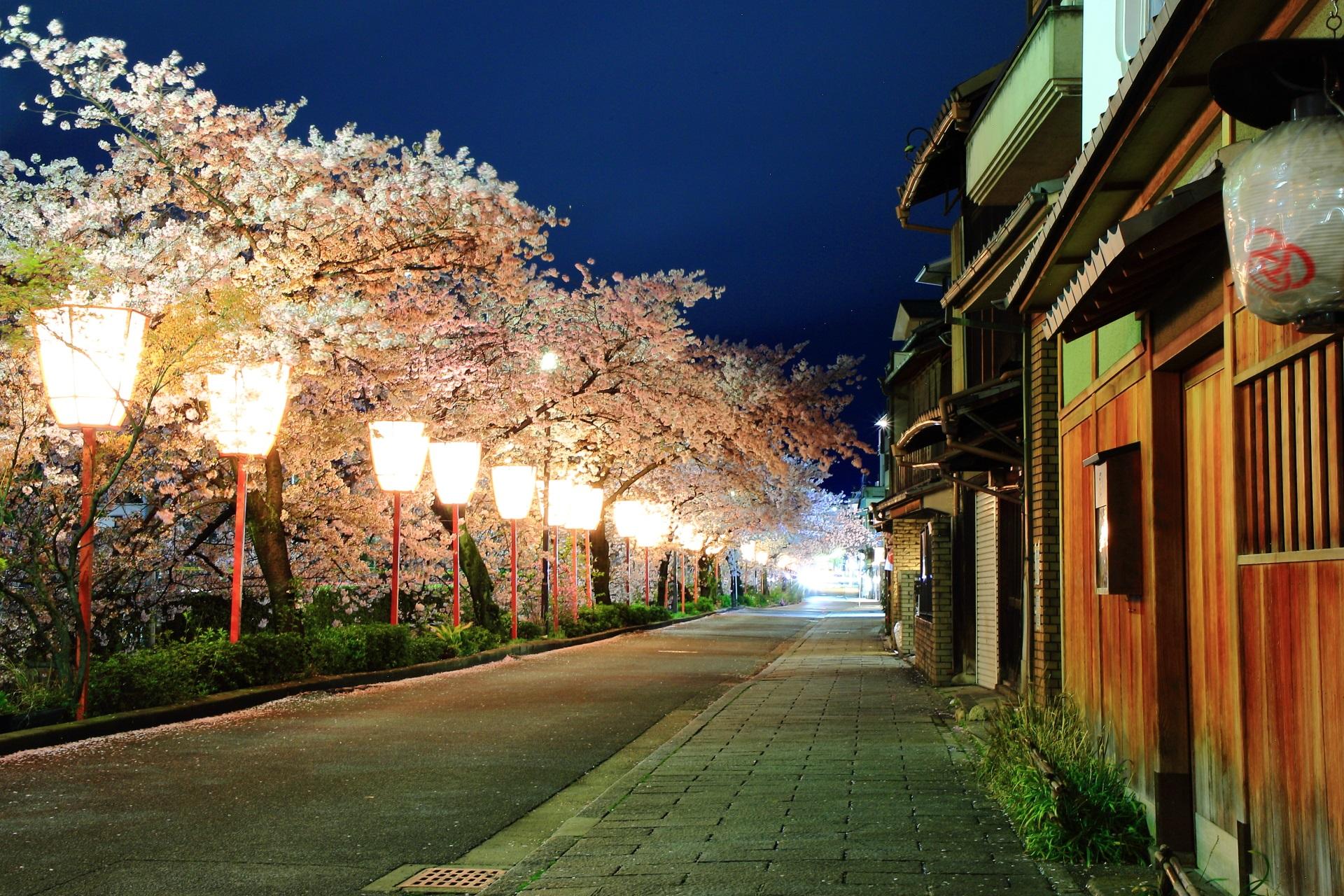 宮川町 夜桜 舞妓さんの街の華やかな桜
