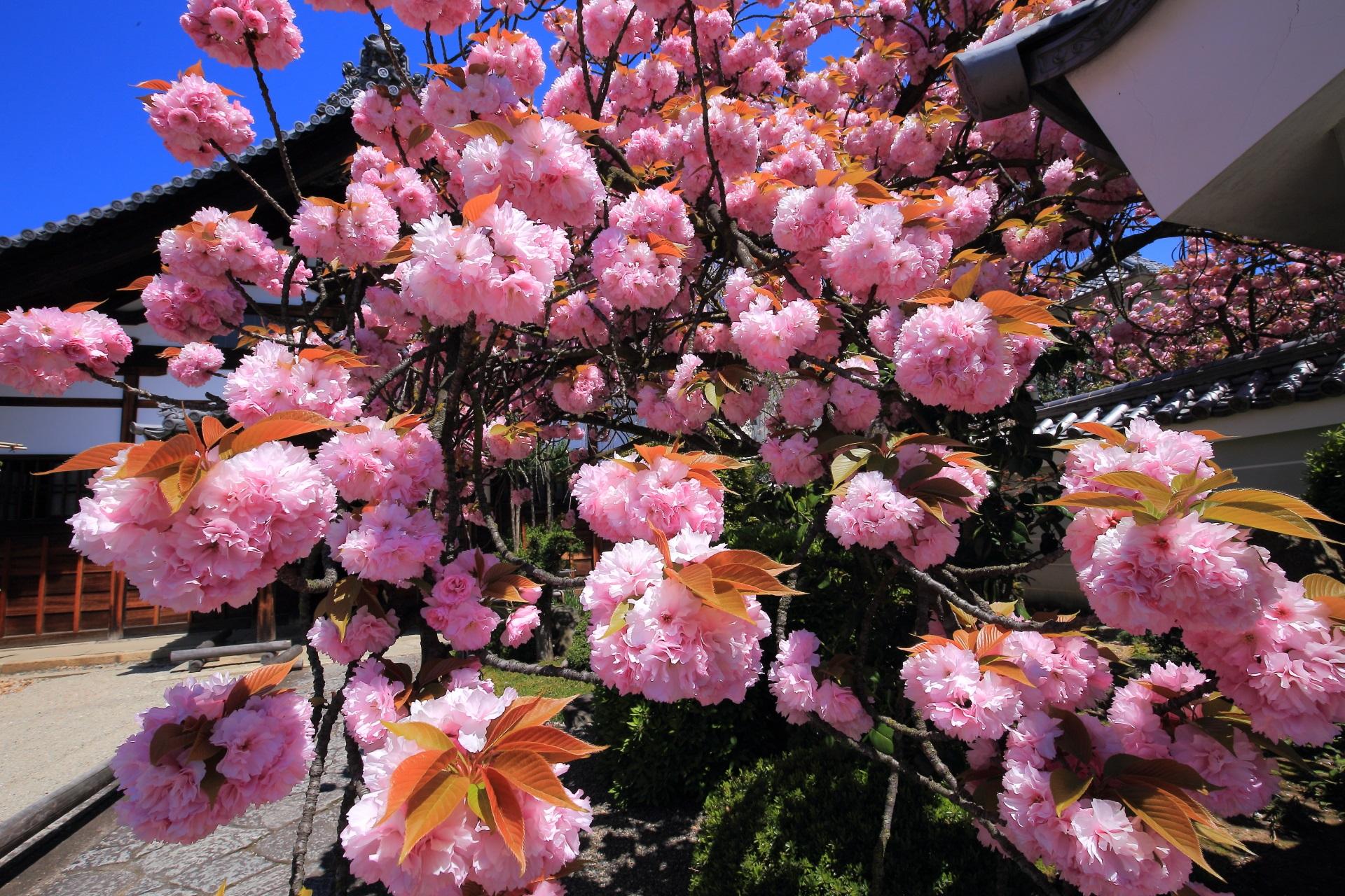 妙蓮寺 八重桜 遅咲きの隠れた桜の名所