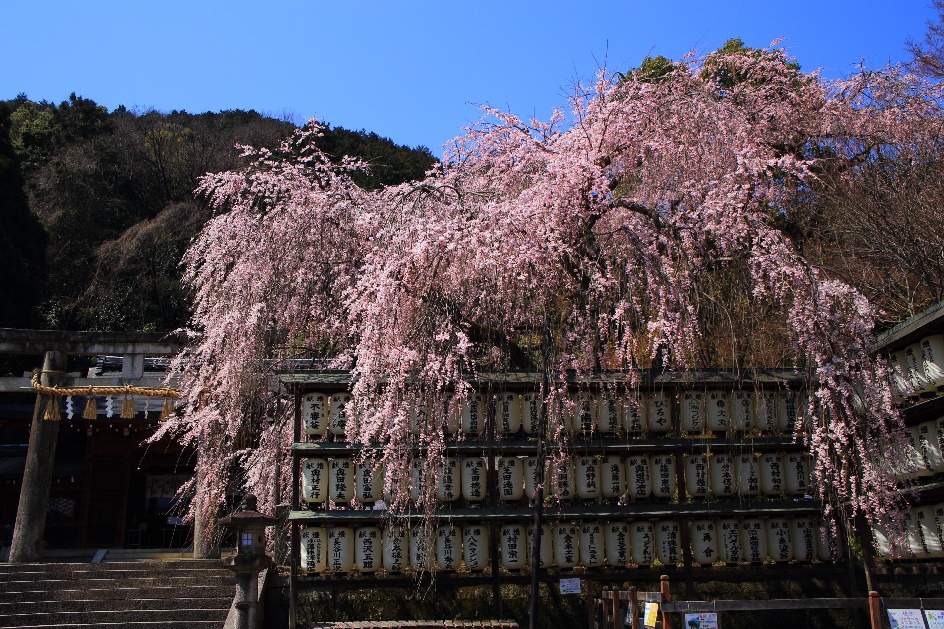 大石神社 桜 絵になる駒形提灯と豪快な大石桜