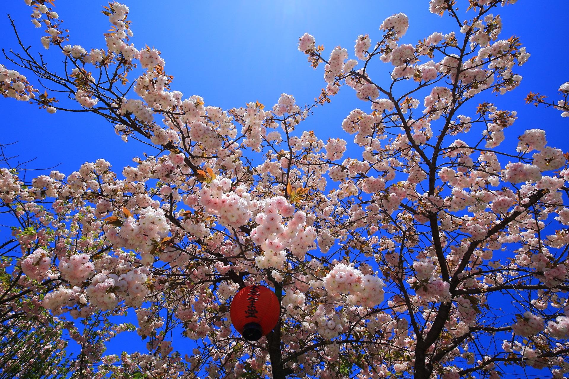 千本ゑんま堂 八重桜 閻魔様を祀る引接寺の桜