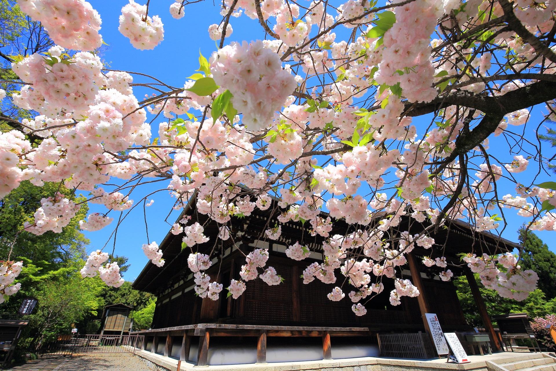 千本釈迦堂 八重桜 遅咲きの絵になる桜