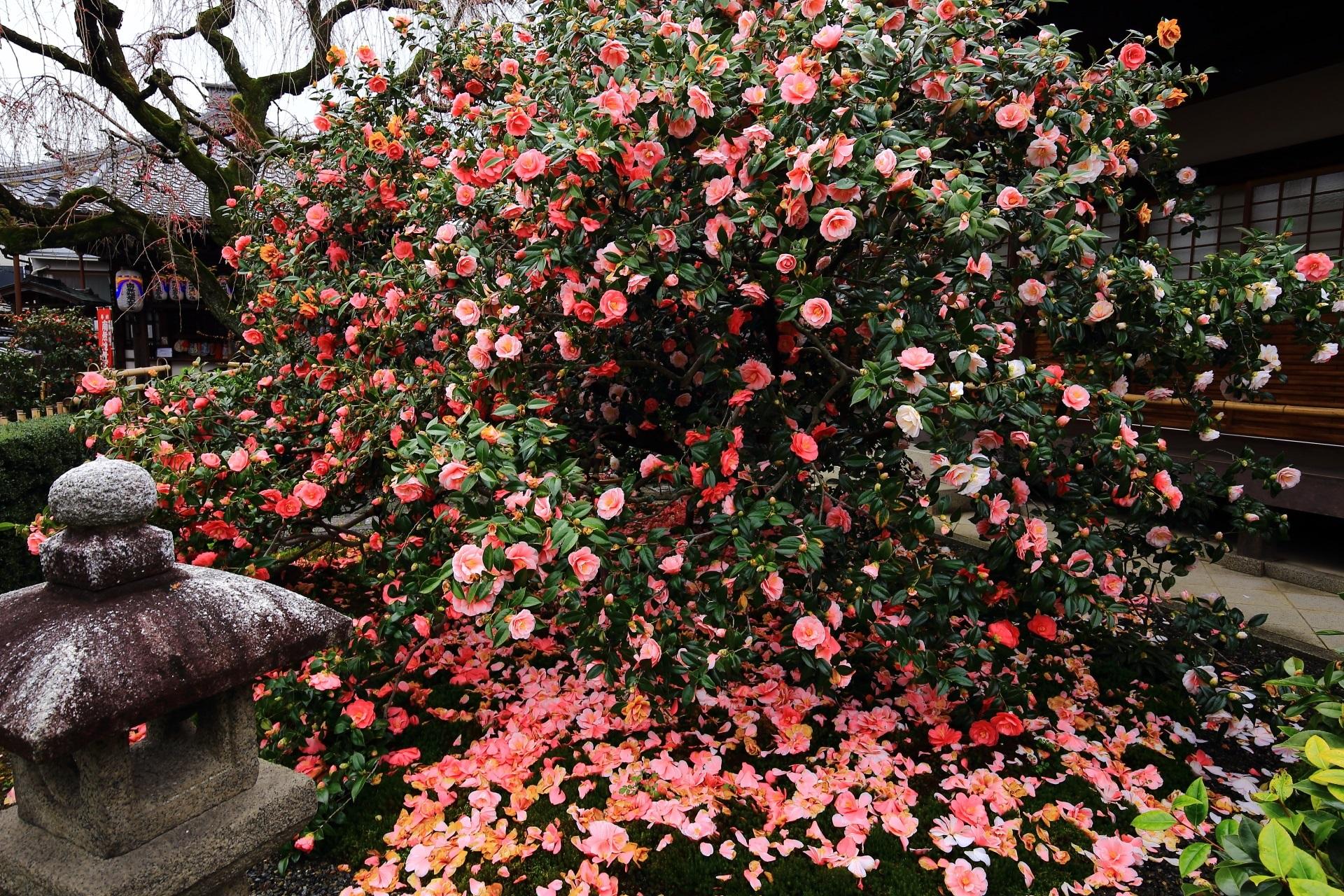 椿寺 地蔵院の椿 色とりどりの鮮やかな五色八重散椿