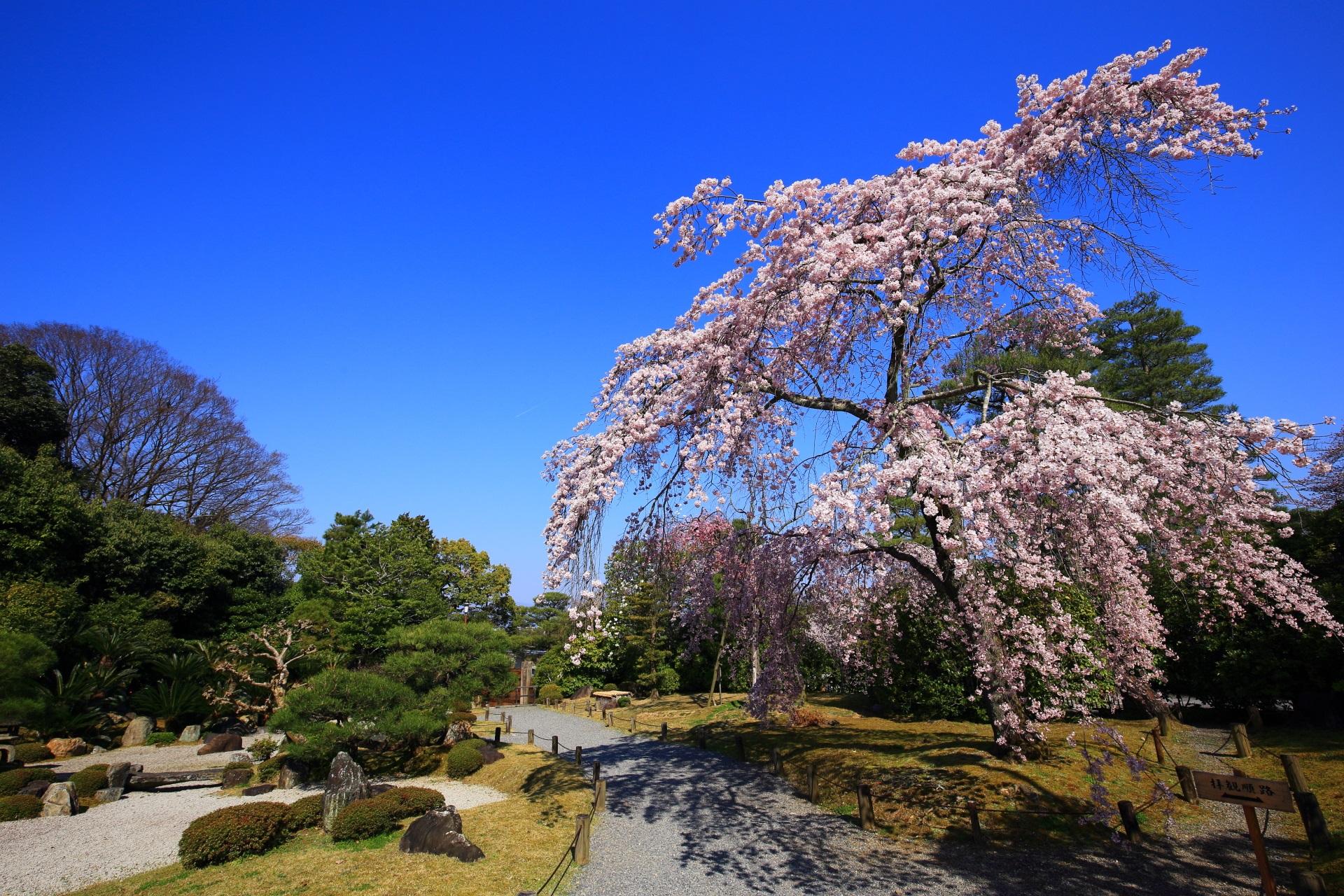 静かに咲き誇るしだれ桜