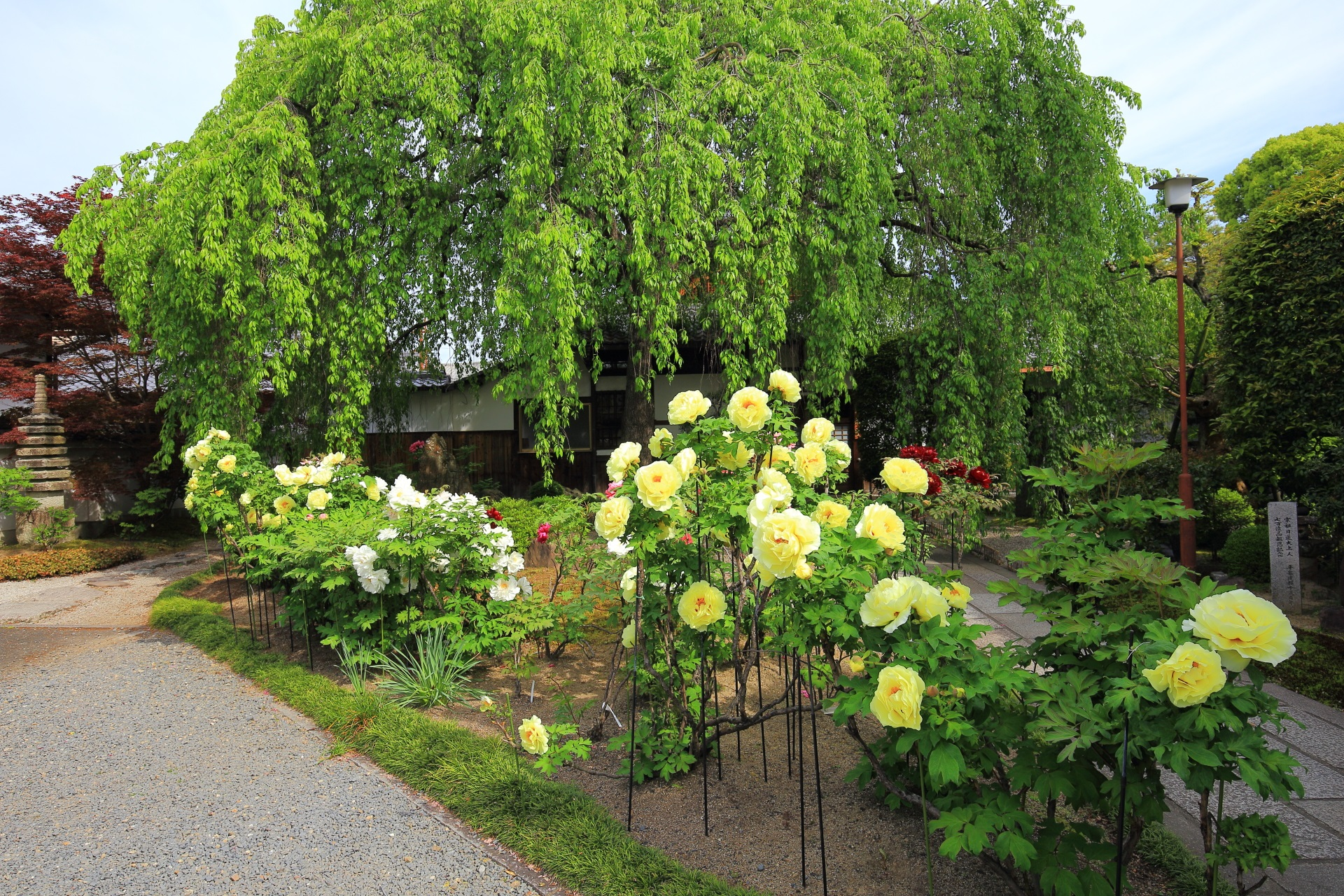 本満寺のしだれ桜前の牡丹