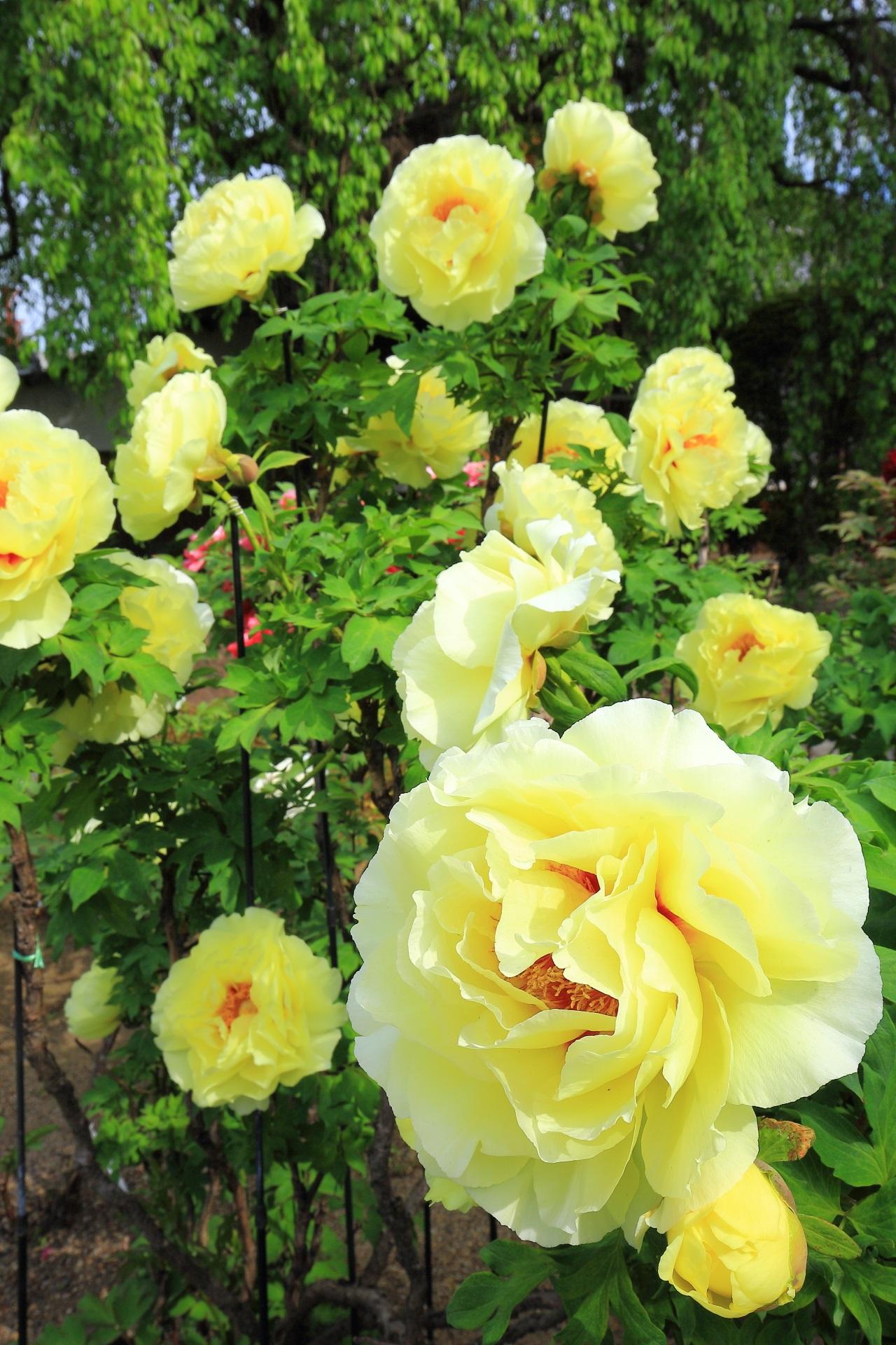 見事に咲き誇る華やかな春色の牡丹