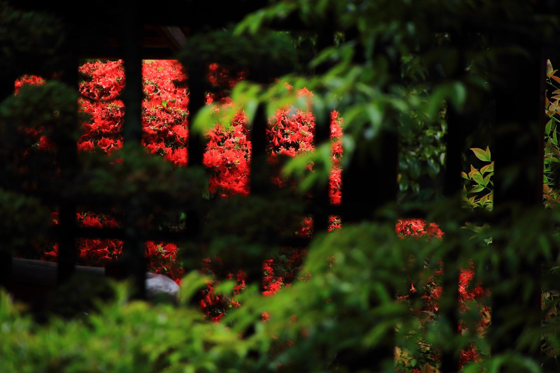 格子から見えるお茶室前の煌びやかな赤いキリシマツツジ