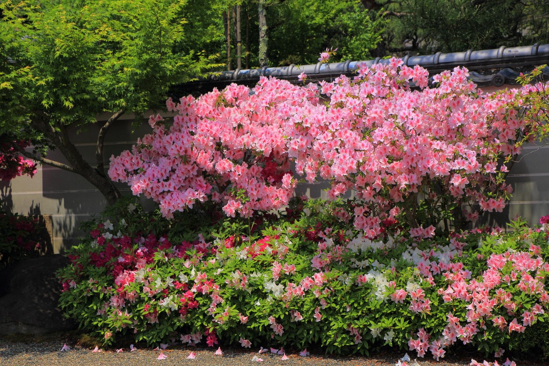 妙満寺の豪快に咲き乱れるピンクのツツジ