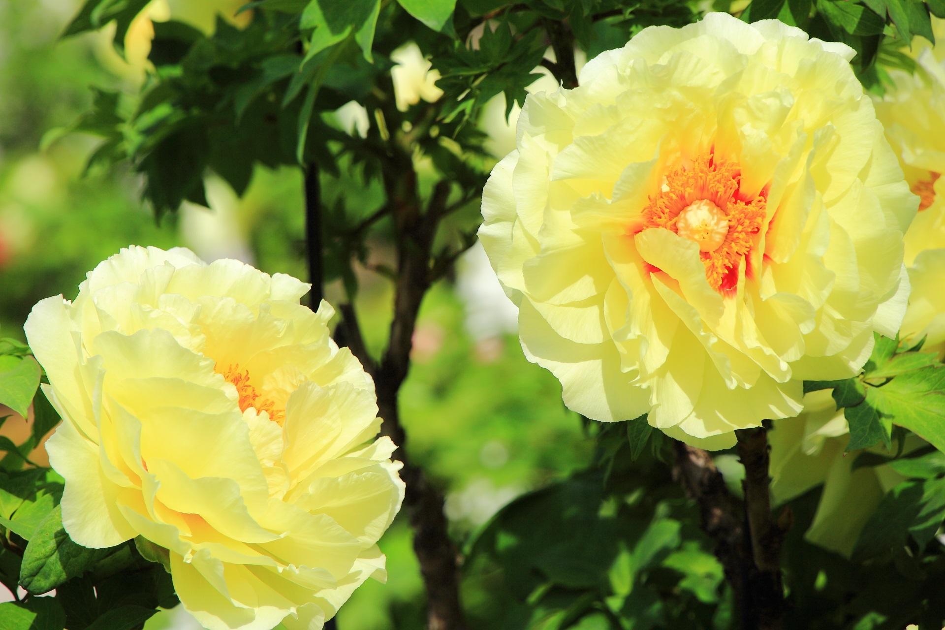 太陽のように元気いっぱいの牡丹の花