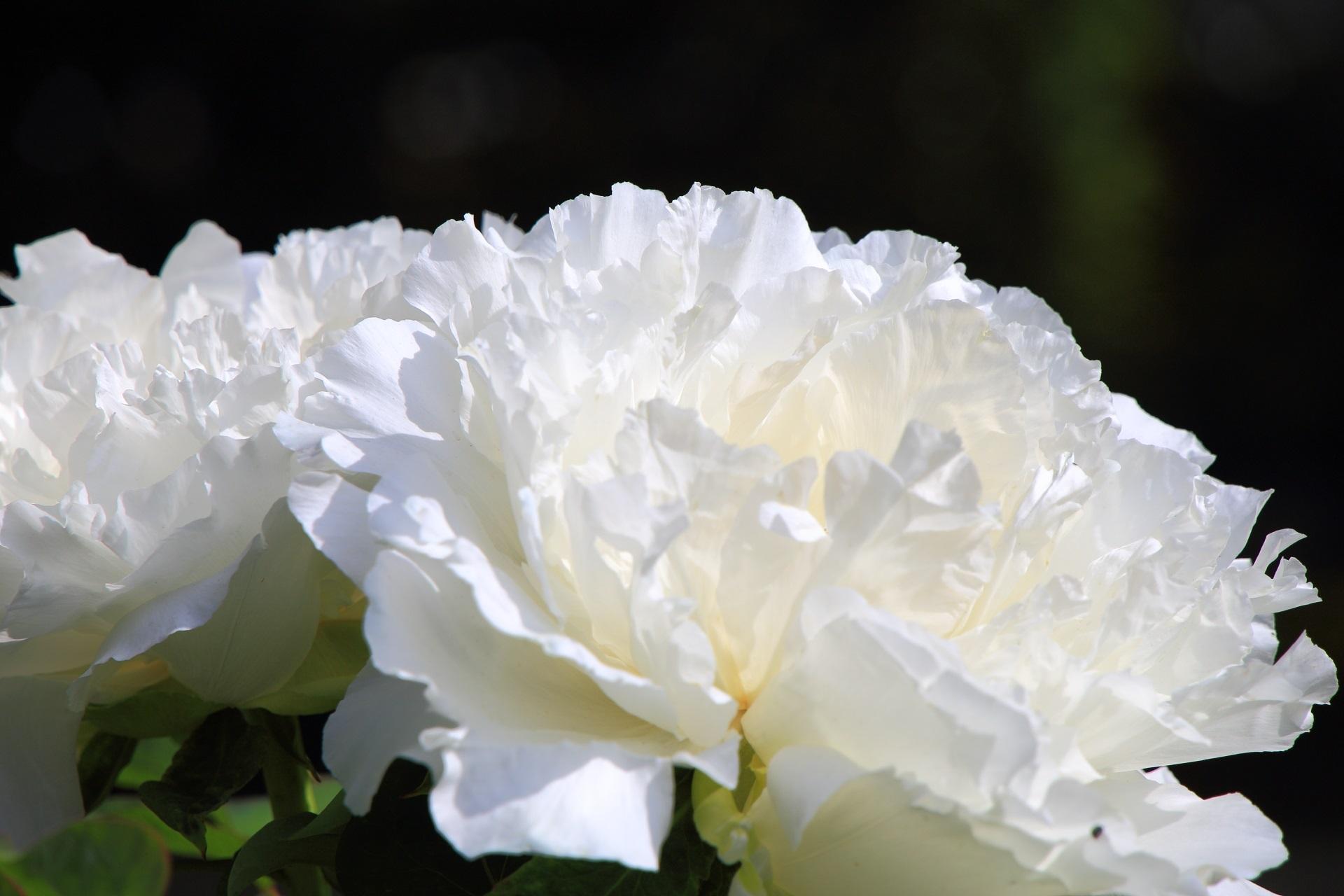 純白で上品な雰囲気のボタンの花