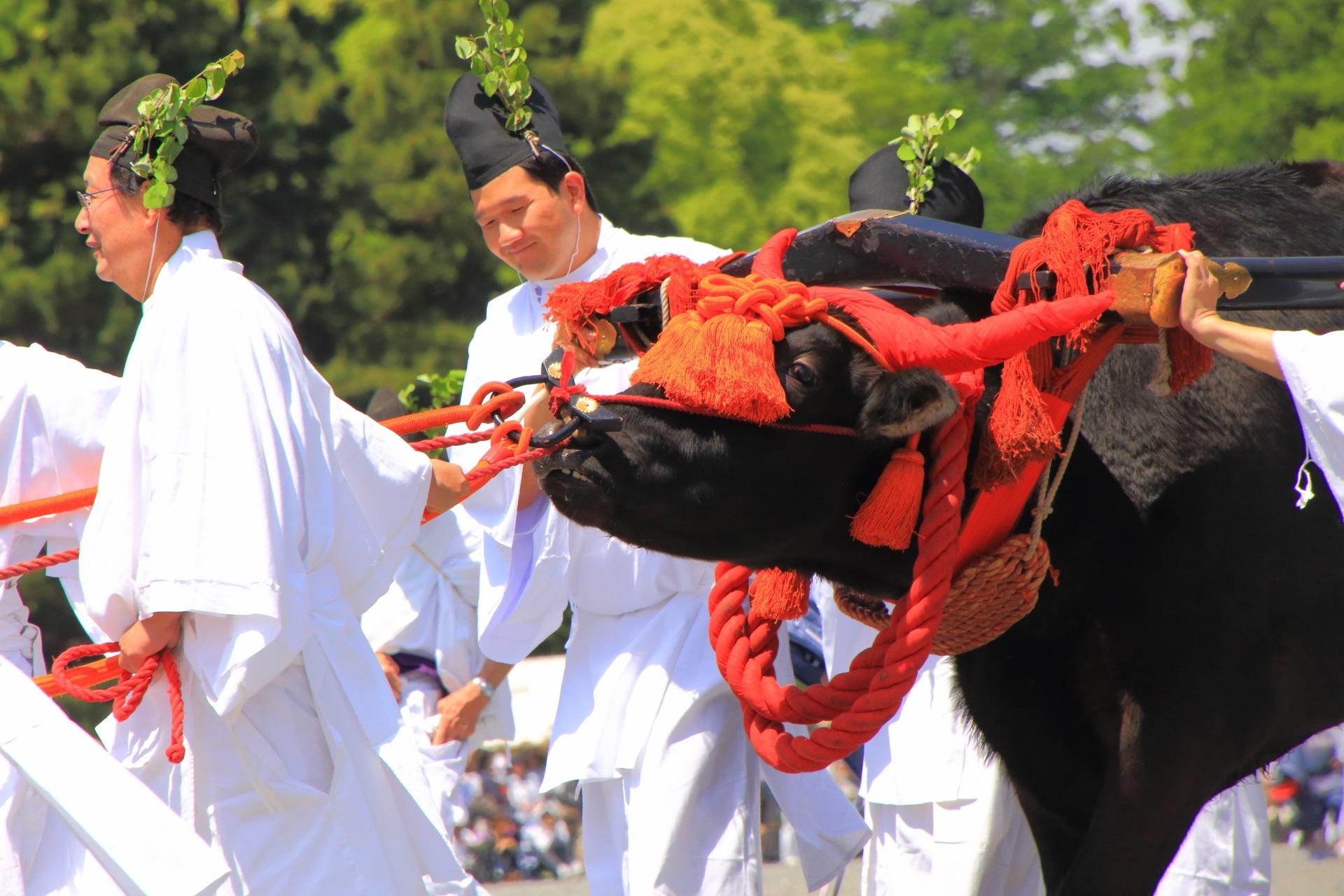 葵祭の牛車の牛さん