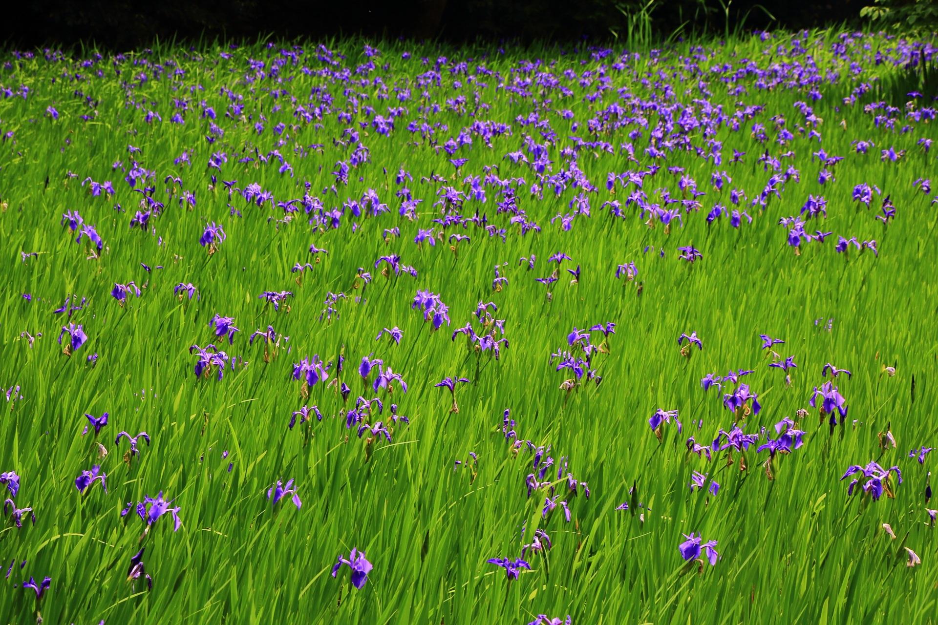 もっともっと復活してたくさんの花を咲かせて欲しい大田神社のカキツバタ